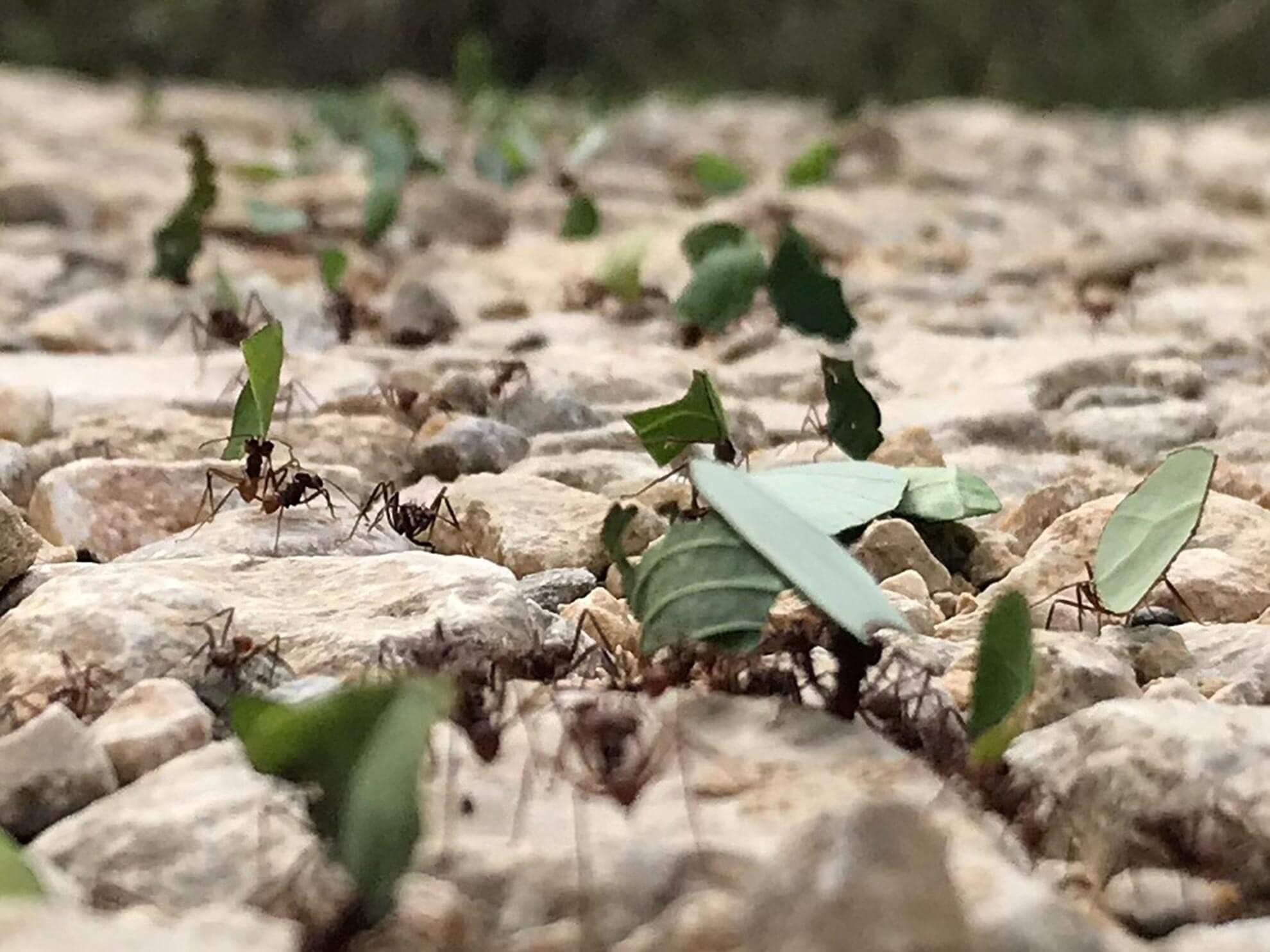 Ants in Belize