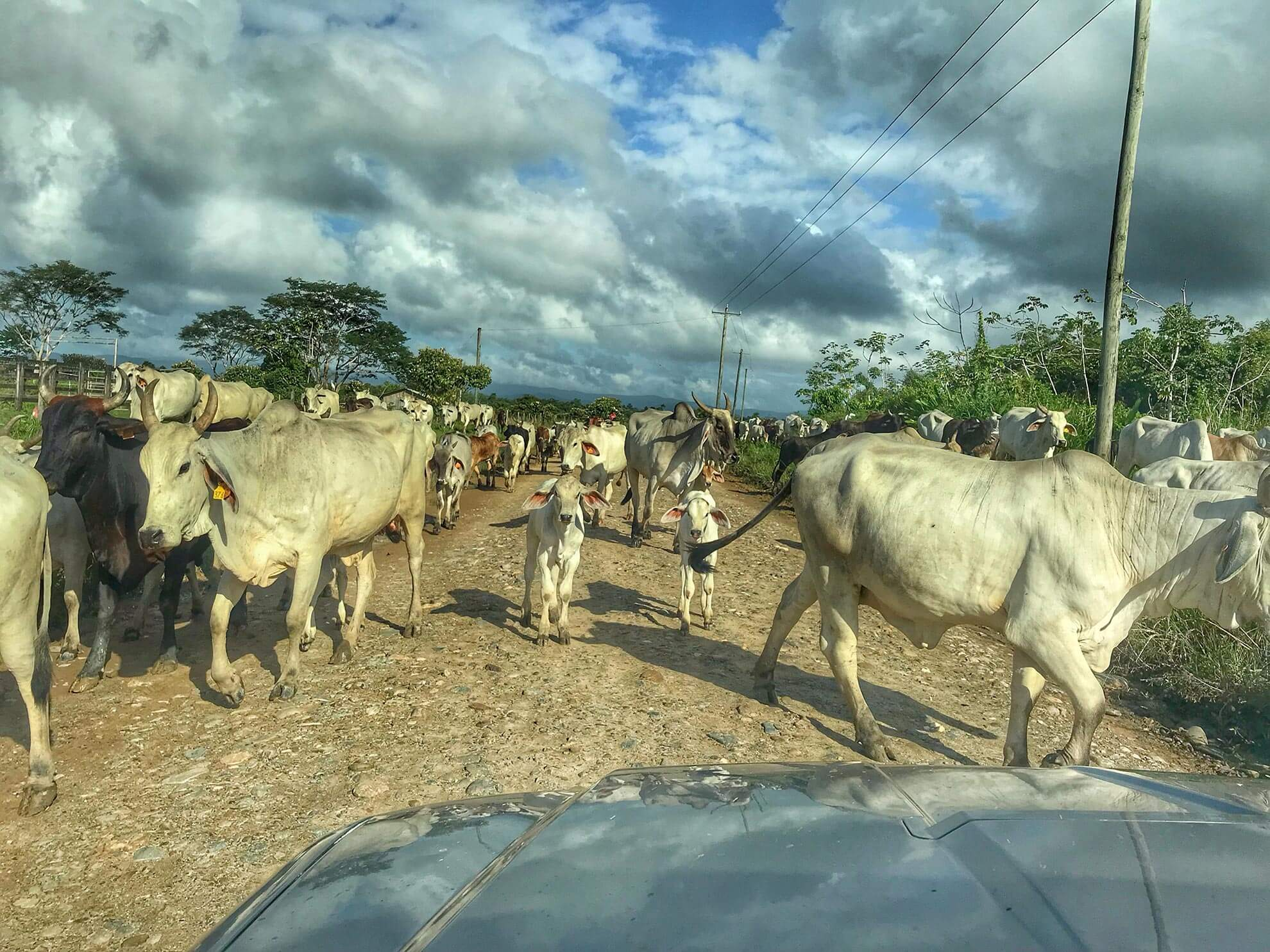Belize Cows.jpg