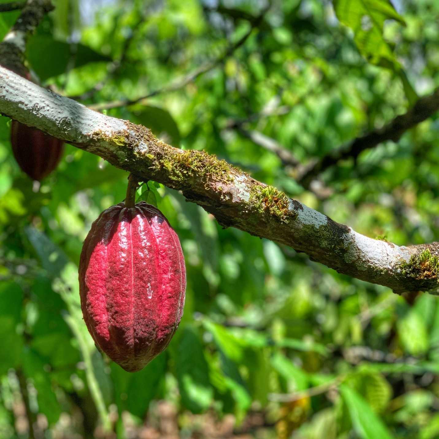A cacao pod ready for harvest (on Justo's farm)