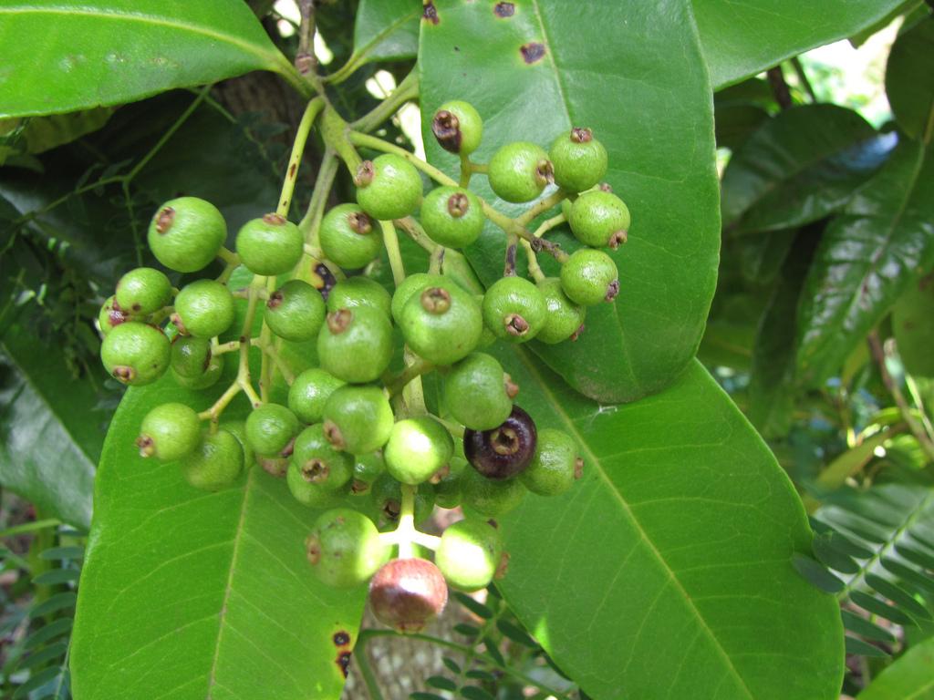 allspice tree.jpg