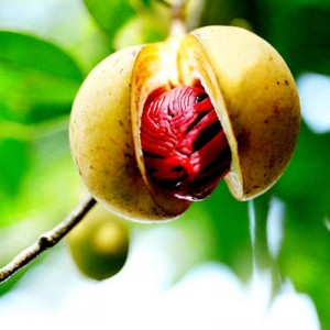 nutmeg-on-tree.jpg
