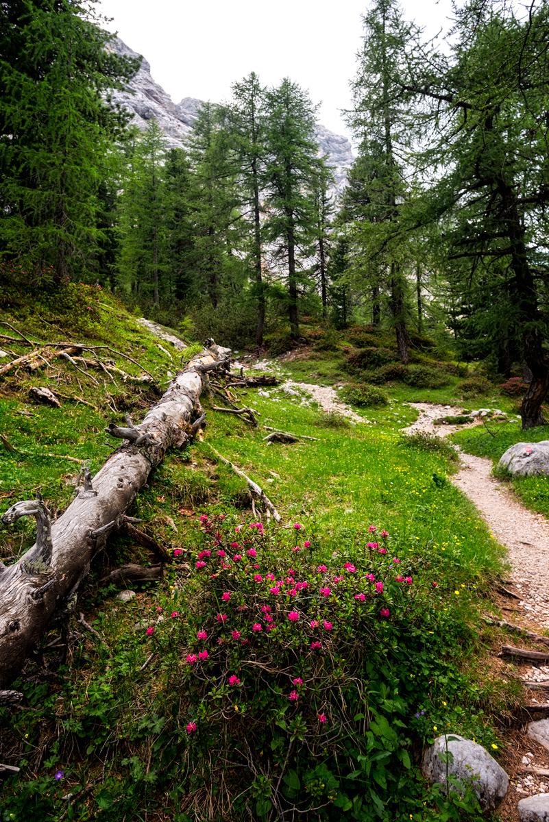 rododendroni în pădure