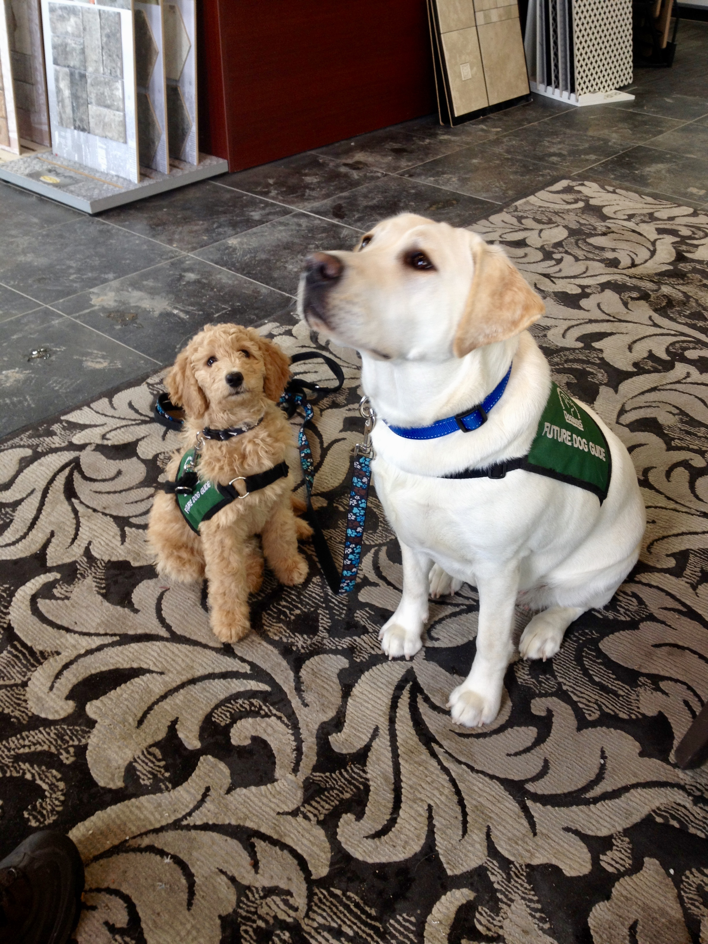 Cider, now a Dog Guide puppy mom & Aliyah, Now an autism assistance dog