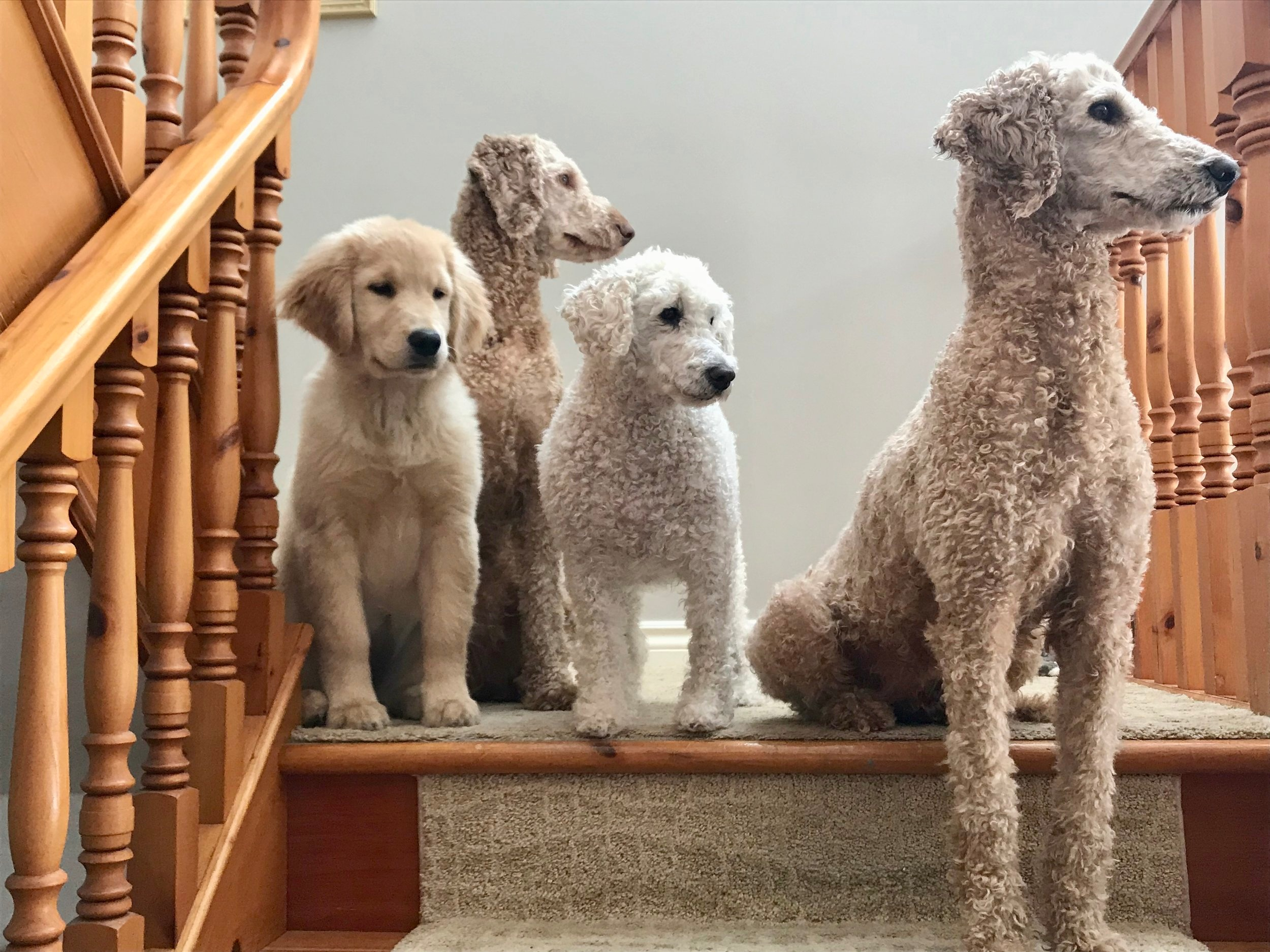 Ivy, Xila, Stewey the zen poodle & Cider - past & present Dog Guides in Training