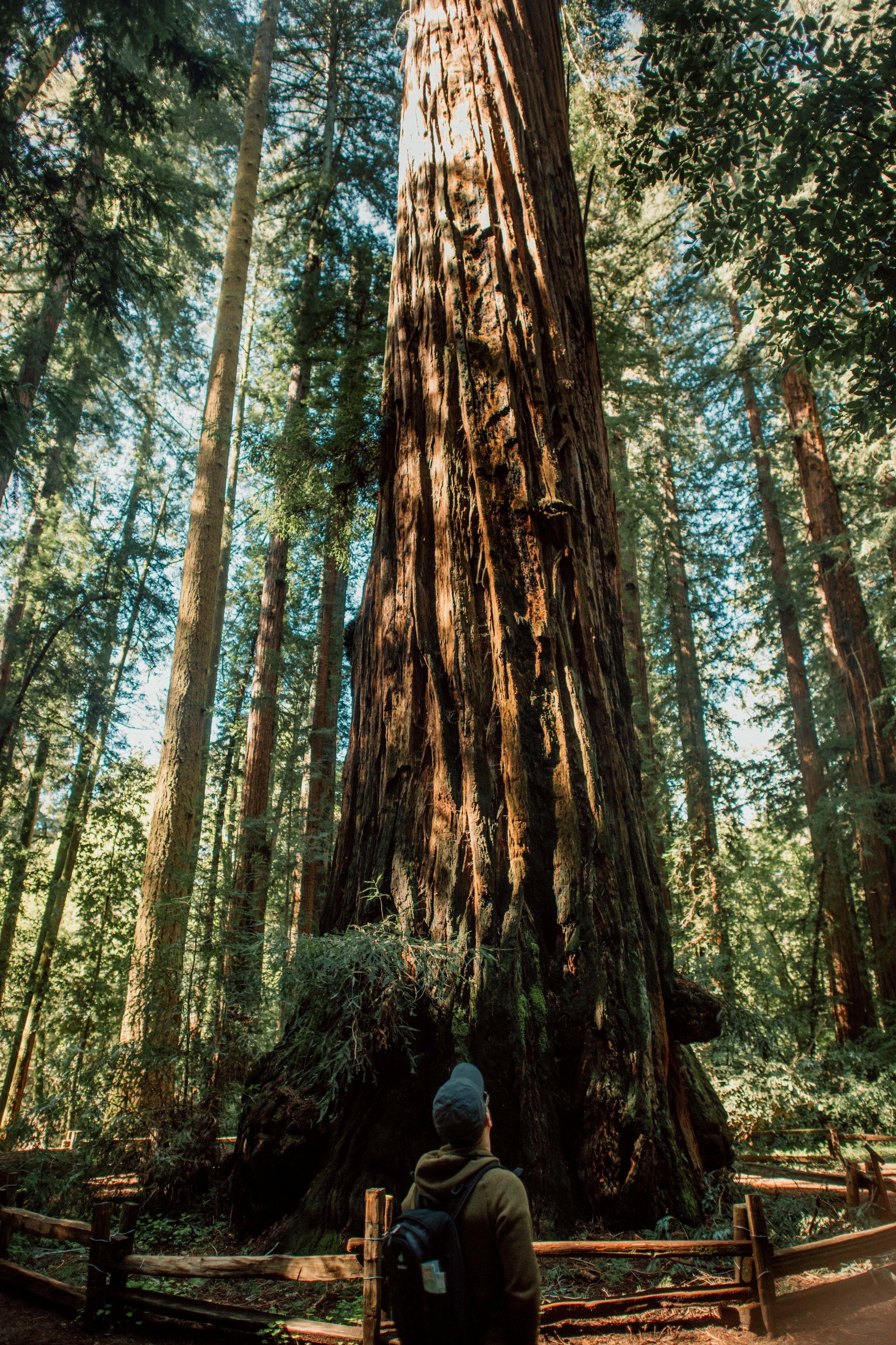 redwoods-1739.jpg