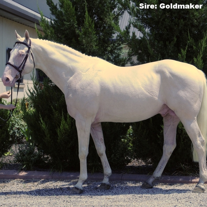 Goldmaker - sire