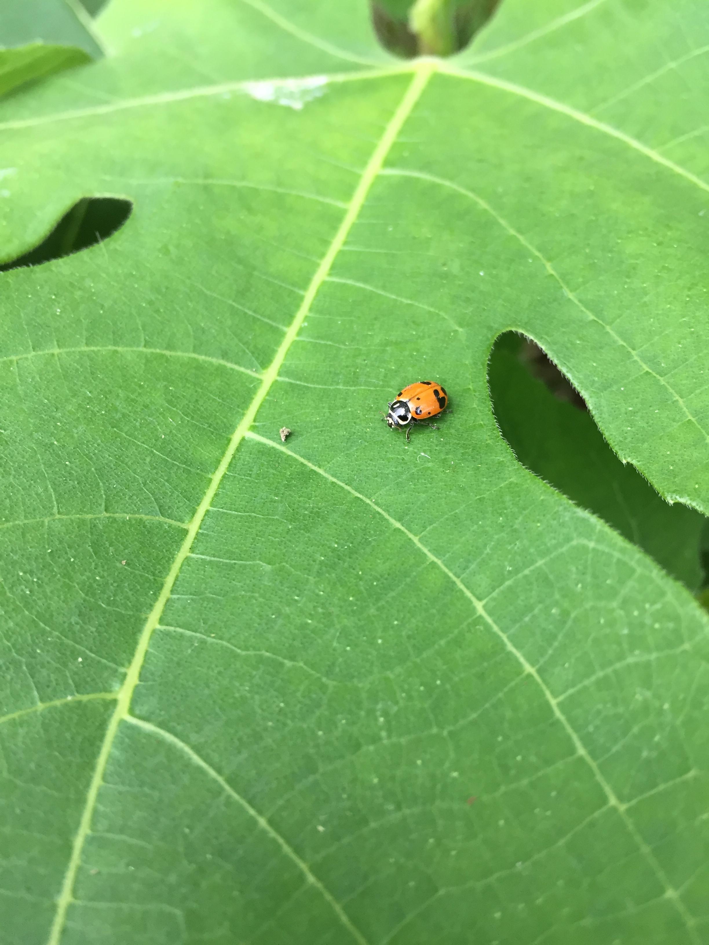 LadybugPestManag.jpg