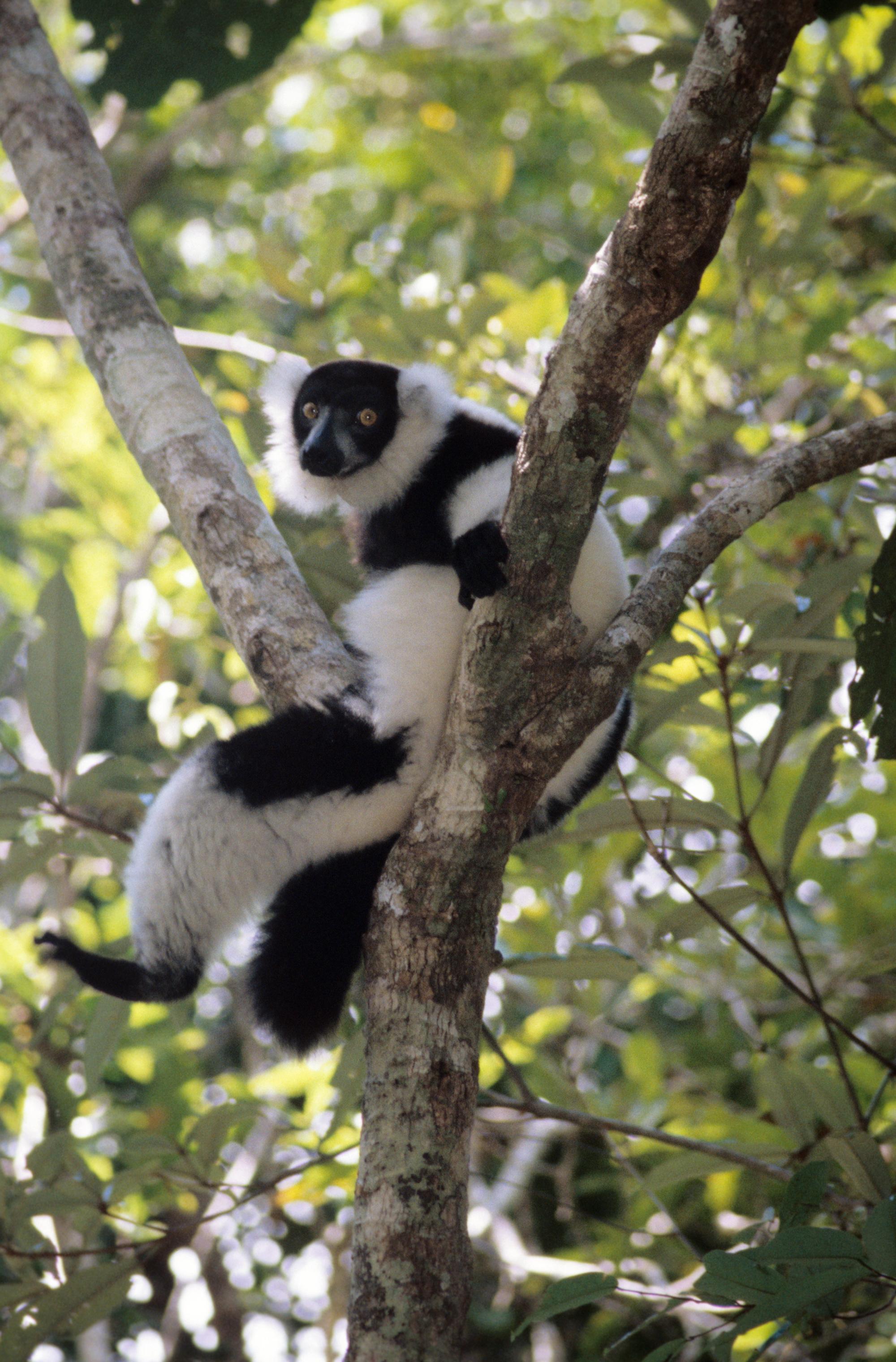 lemur in tree.jpg