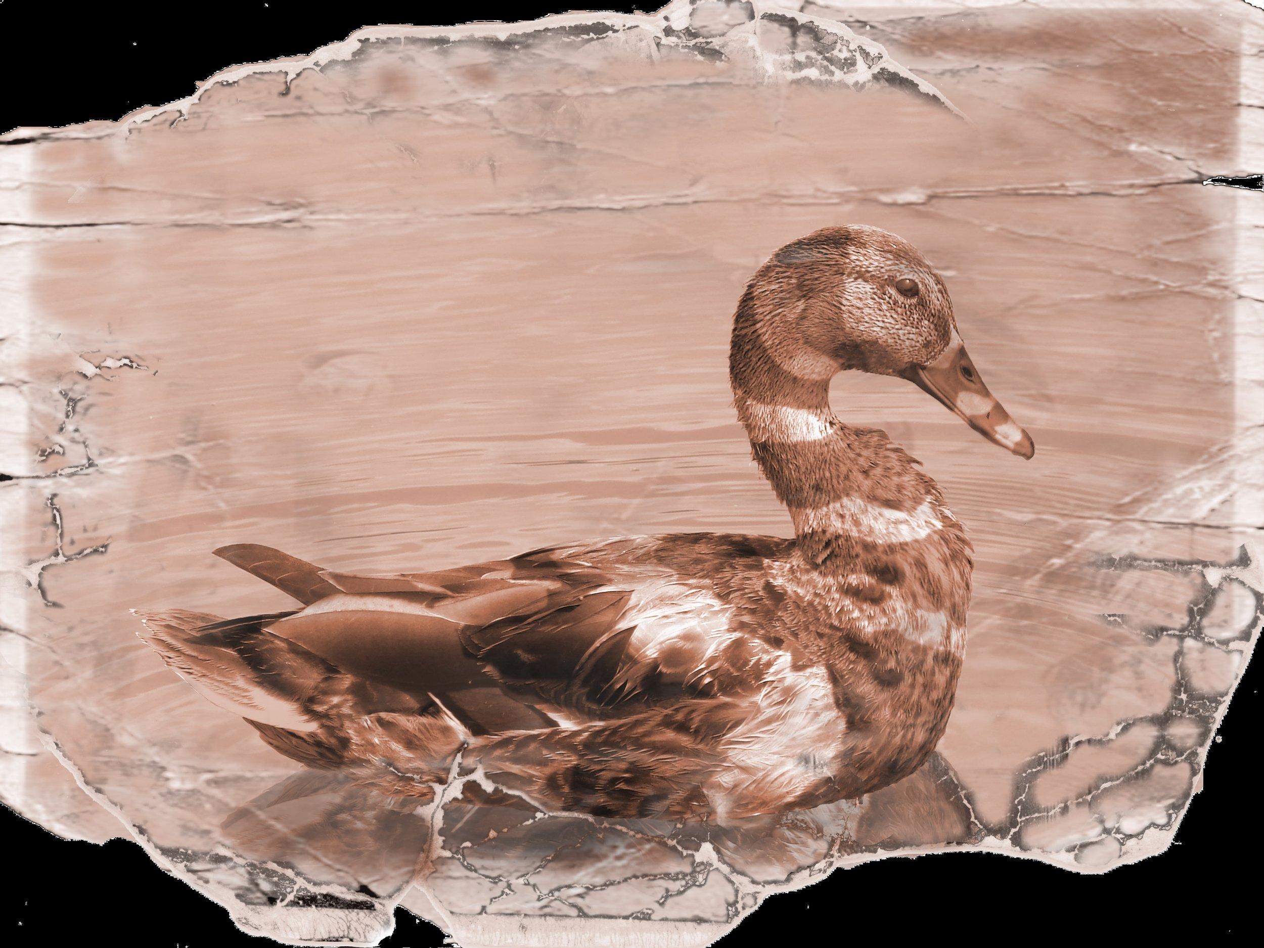 Striped Augette Duck Black.jpg