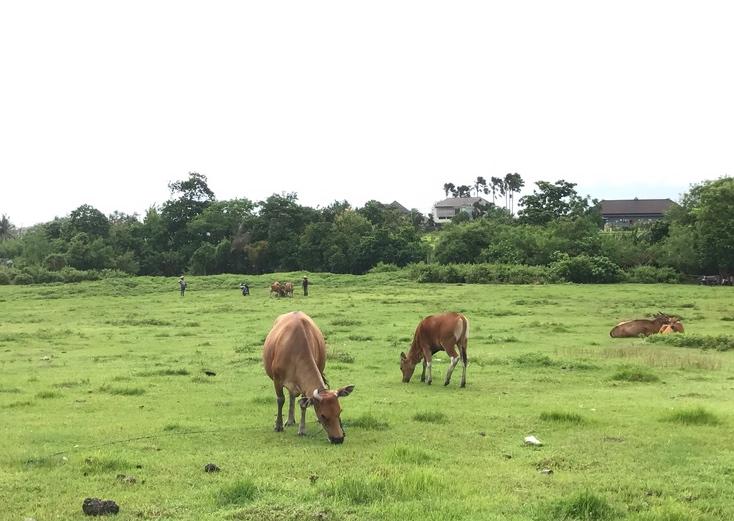 Grazing Cows Canggu Bali 2.jpg