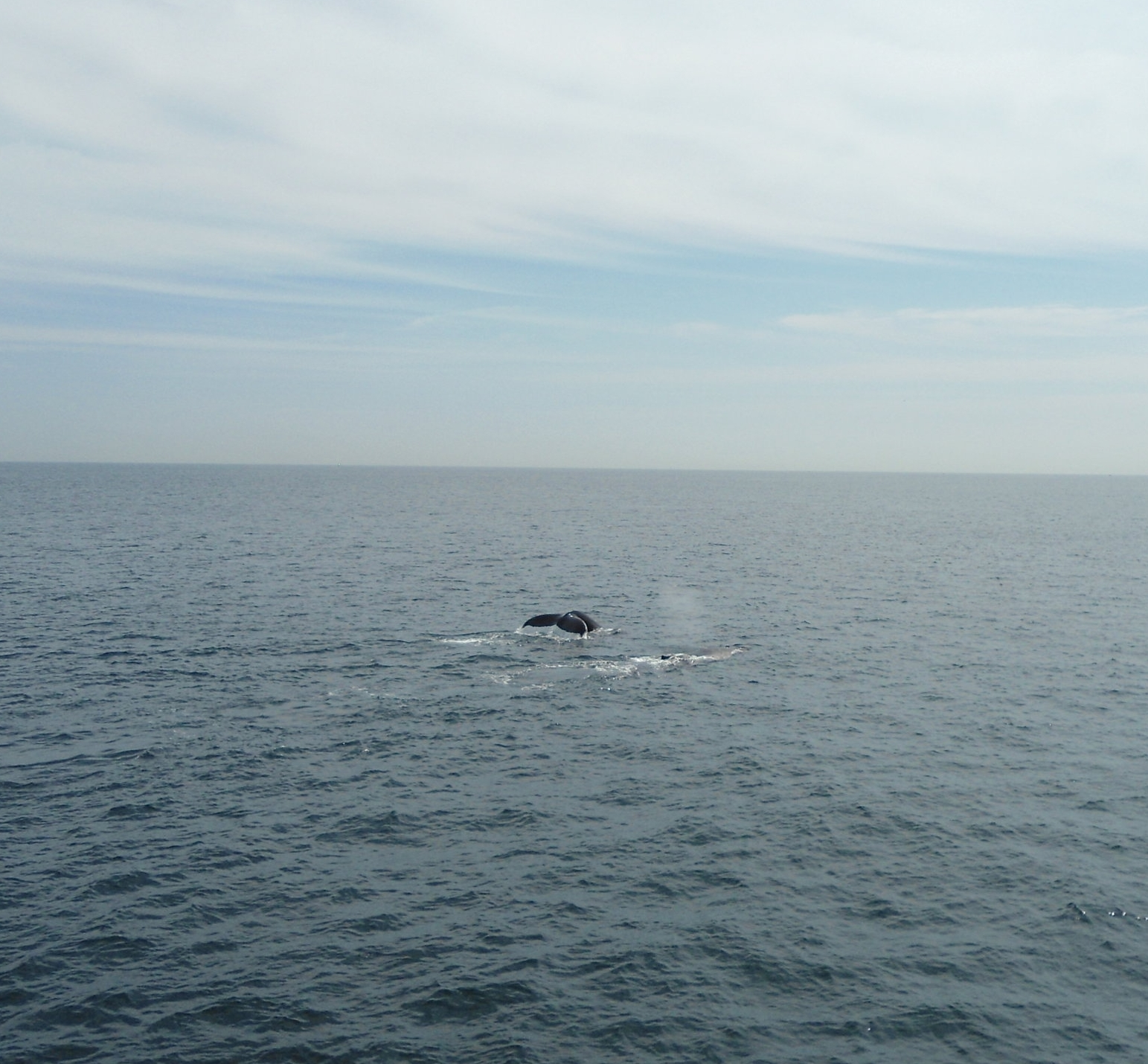The tail of a humpback whale and accompanying spray off of Boston Harbor in New England.