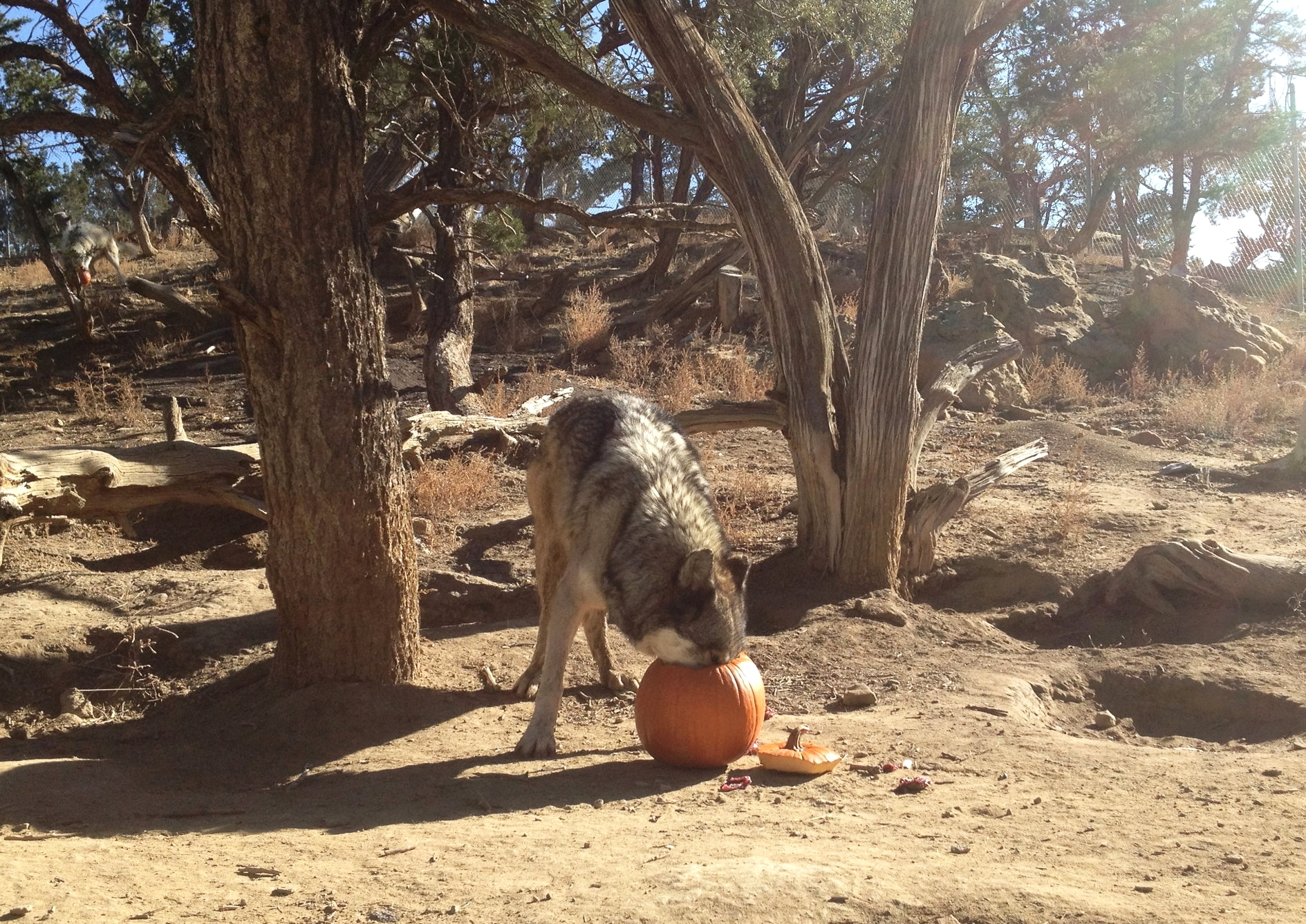 9 year old wolf-dog, Argo, snacking on his pumpkin treat at Wild Spirit Wolf Sanctuary.