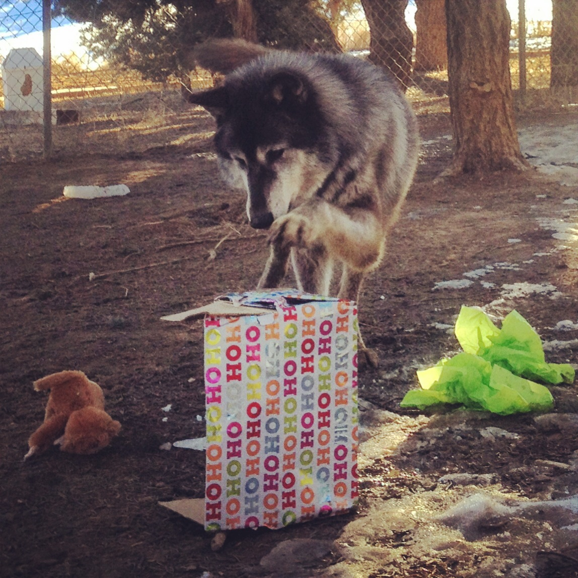 Lucian, a wolf-dog at Wild Spirit Wolf Sanctuary diving into his holiday present.