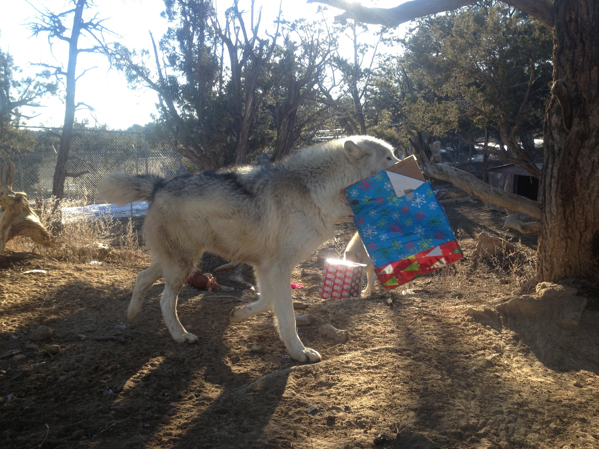 Wolf-dog, Nimoy, showing off his present.