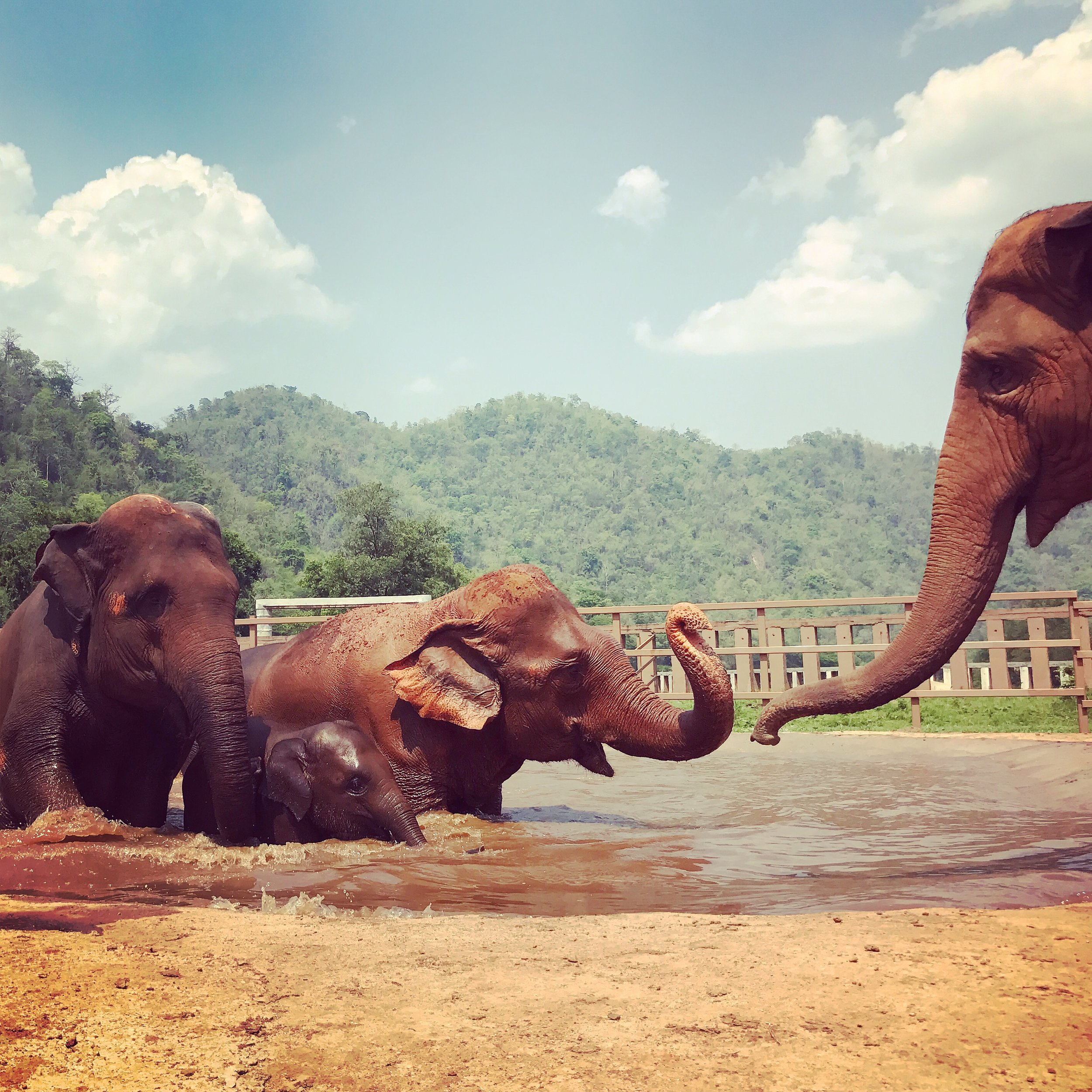 A happy herd at Elephant Nature Park in Chiang Mai, Thailand.