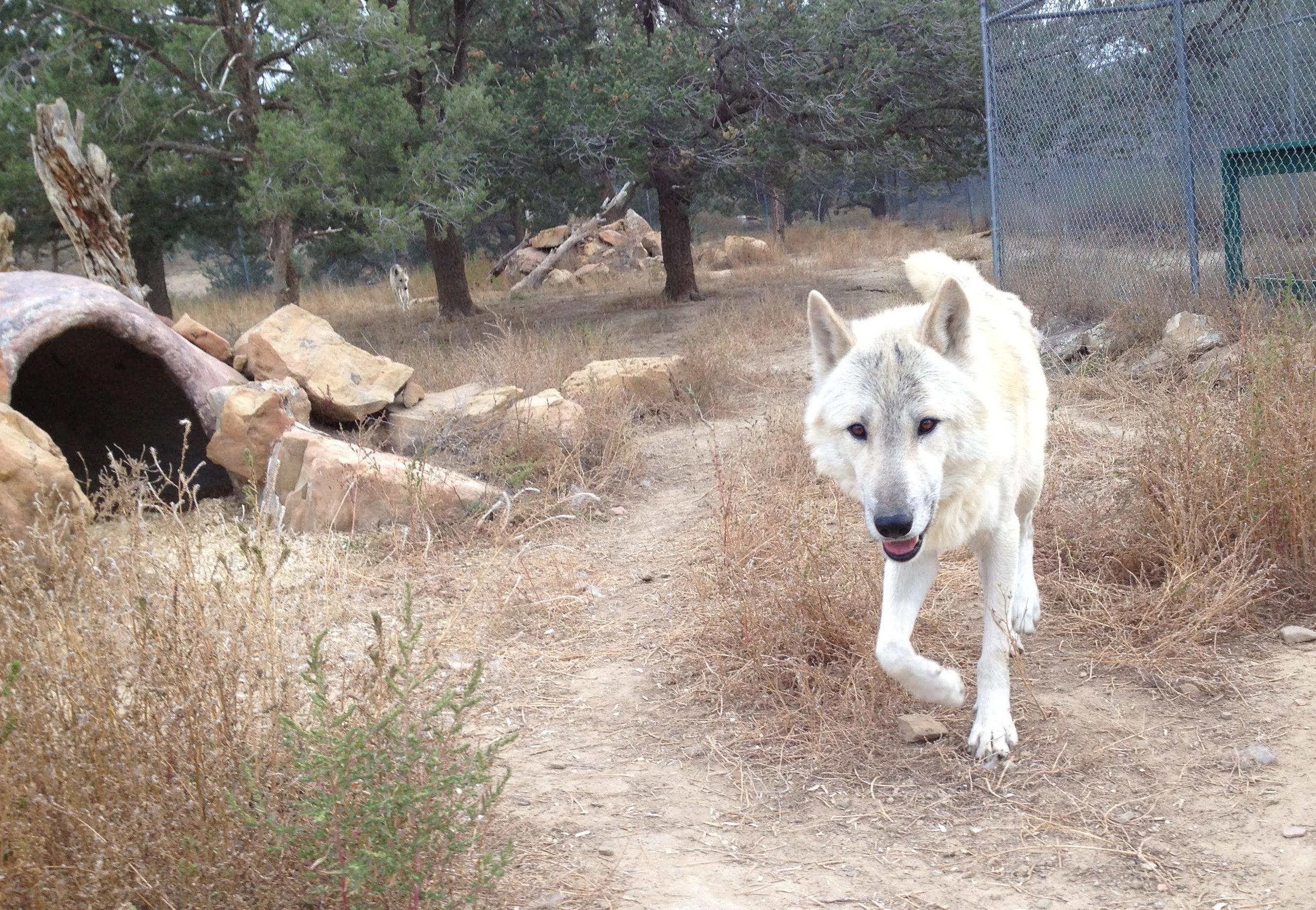 Running Wolf-dog.jpg