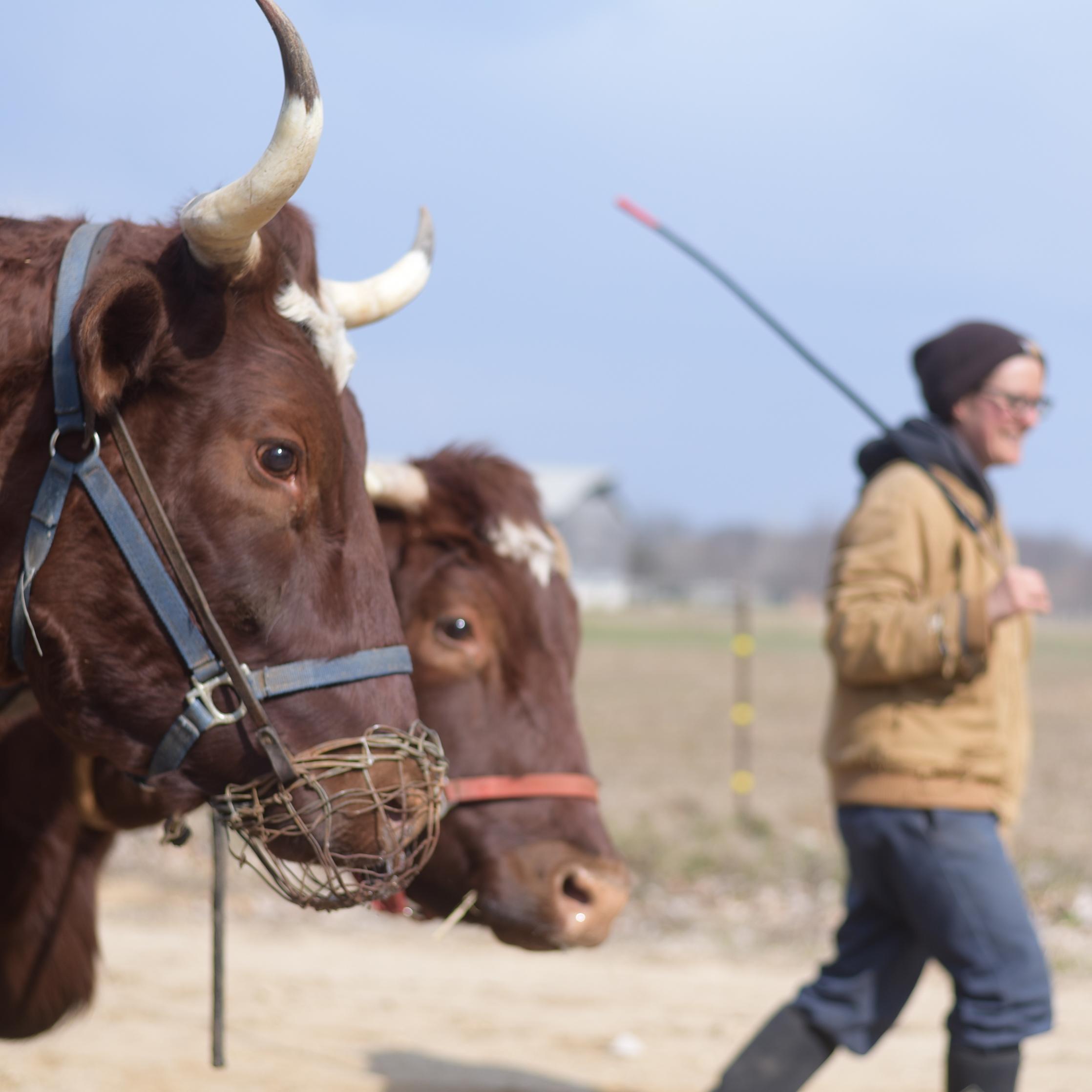 Donate-Oxen.jpg