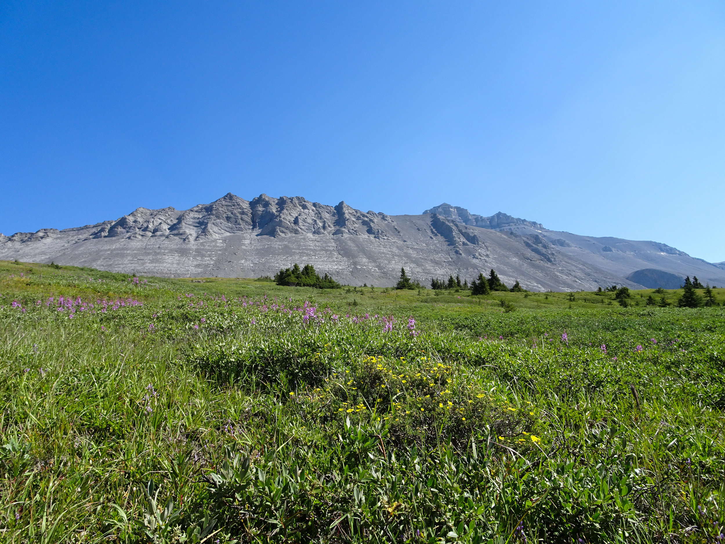 Wilcox Pass Alpine Meadow
