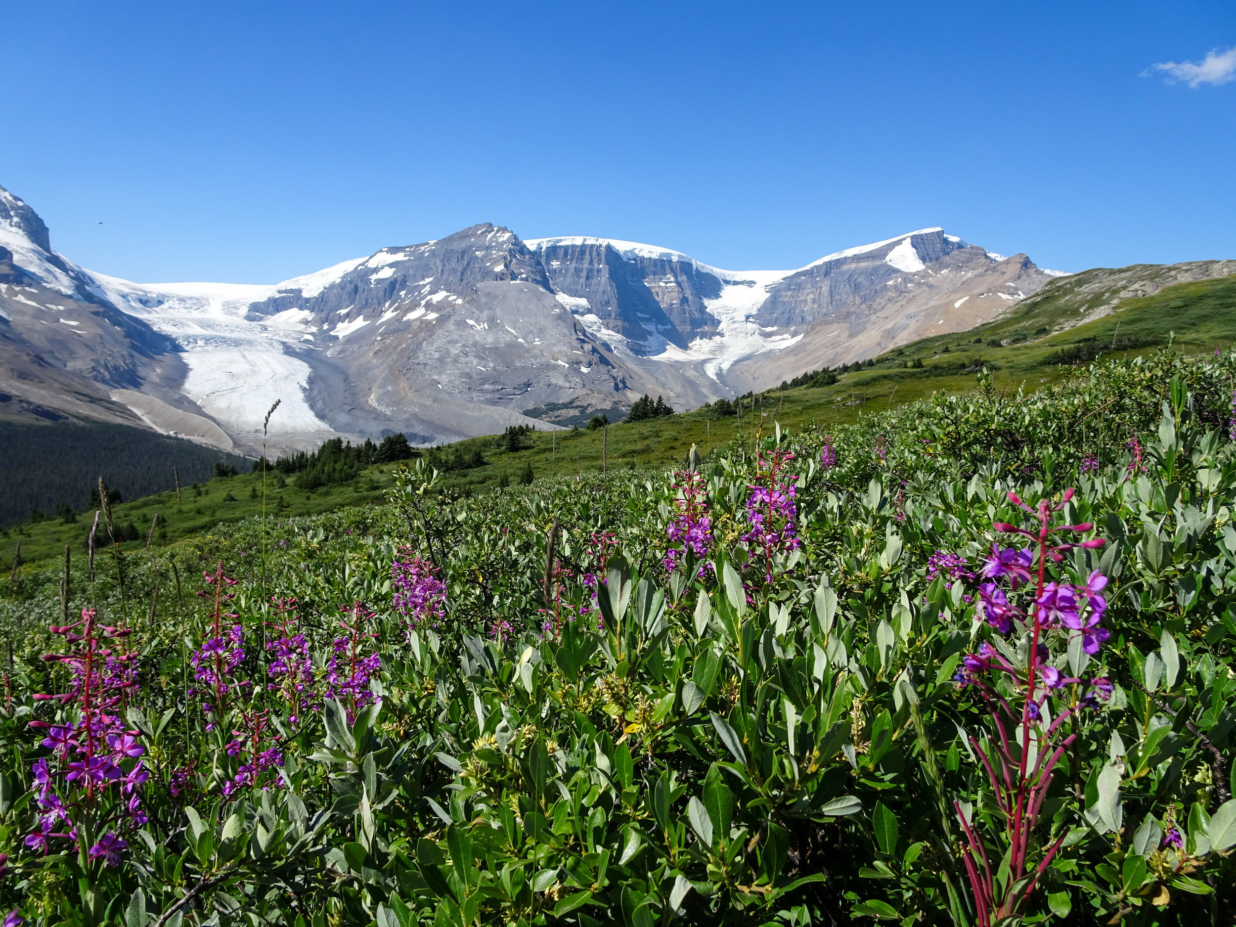 Wildflowers on Wilcox Pass