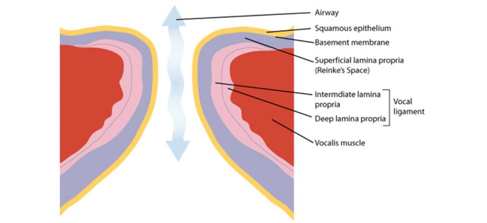 vocal-fold-layers.jpg