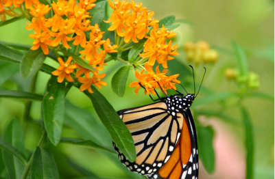 butterflyweed