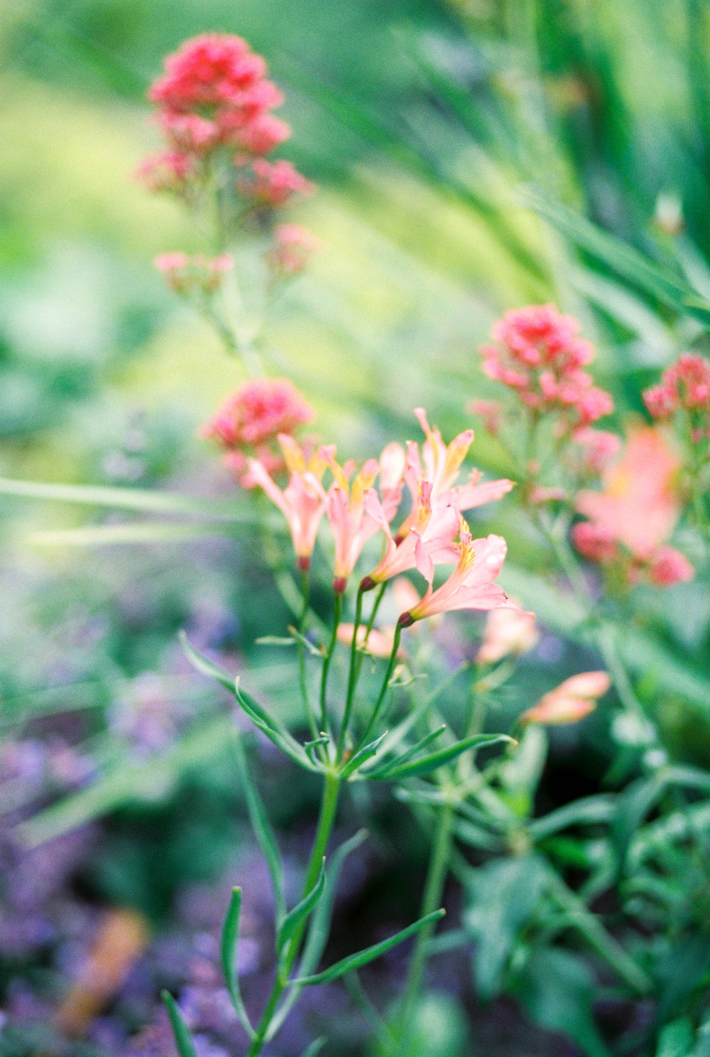 pink flowers with green stems