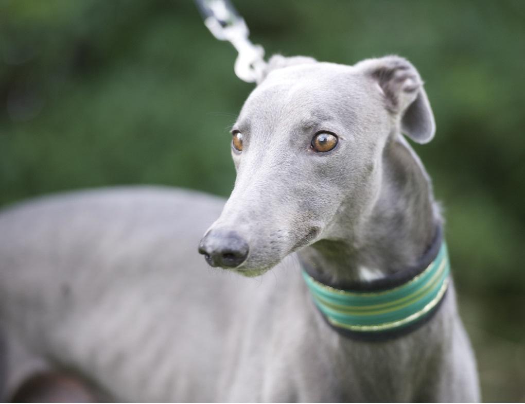 Greyhound Adopt