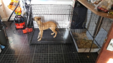 Bambi before she was collected by Tim & Mel - at her previous home ... never went out, spending most of her time caged. x (Picture added by Greyhound Rescue)