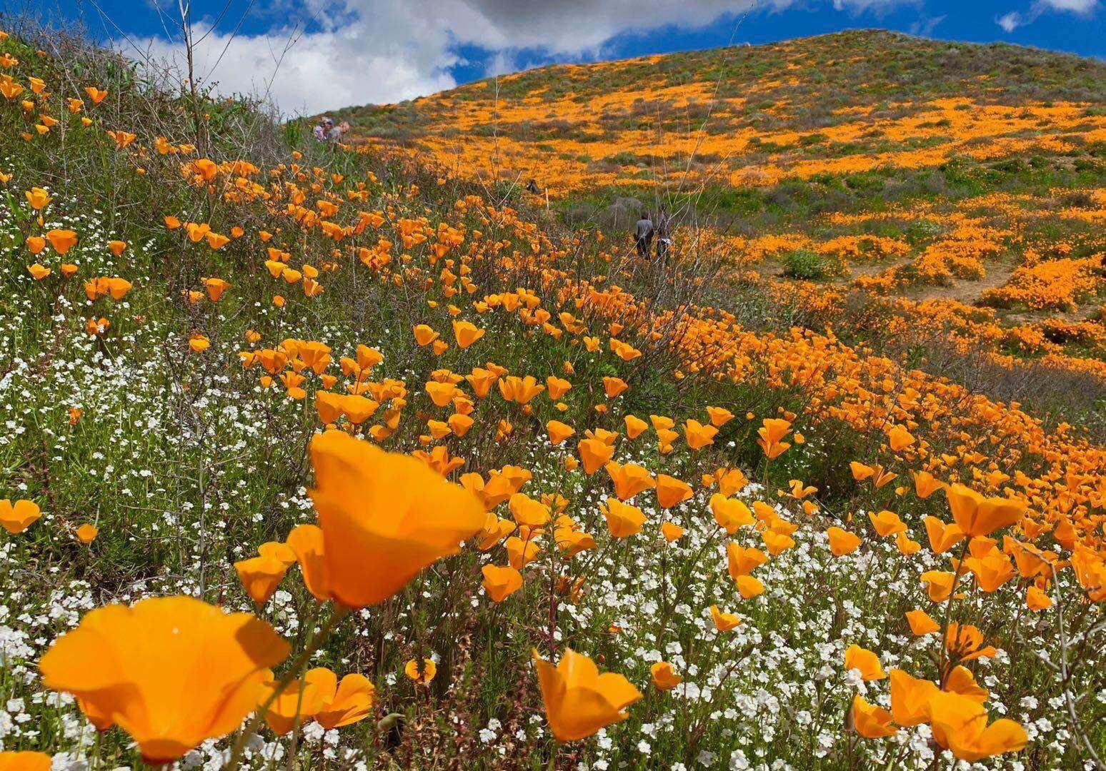 california poppies superbloom.jpg