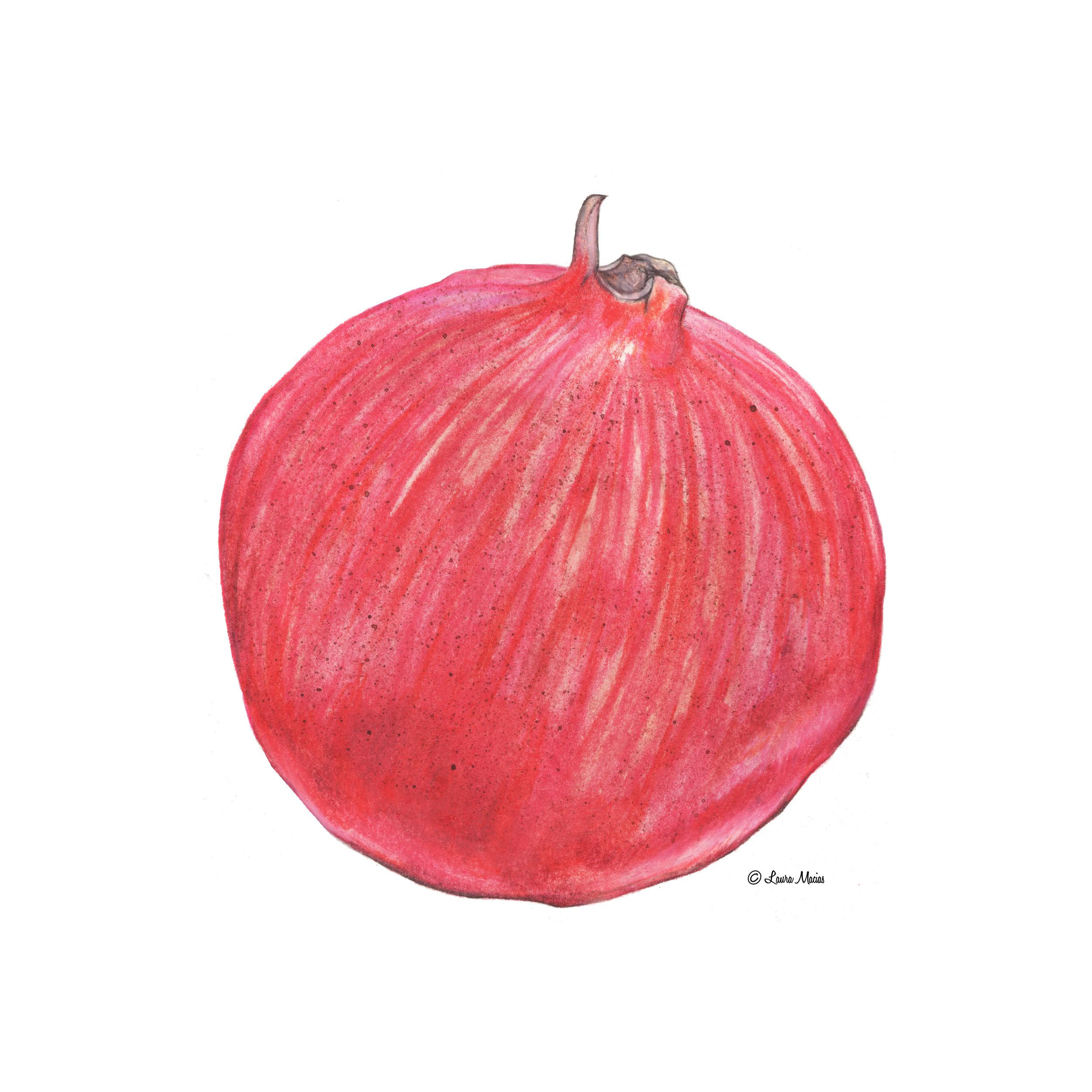 Pomegrante   Punica granatum    Watercolor and Colored Pencil on Bristol
