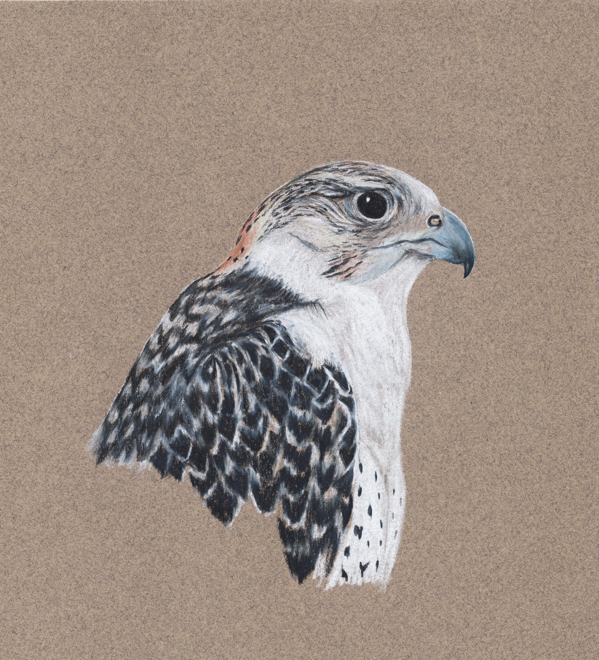 Peregrine-gryfalcon   hybrid   Falco peregrinus-Falco rusticolus   Colored Pencil on Toned Paper