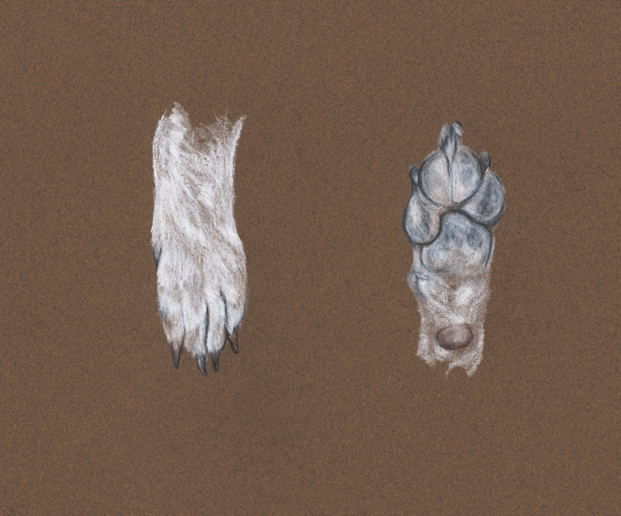 Puppy Paws   Canis lupus familiaris   Colored Pencil on Toned Paper