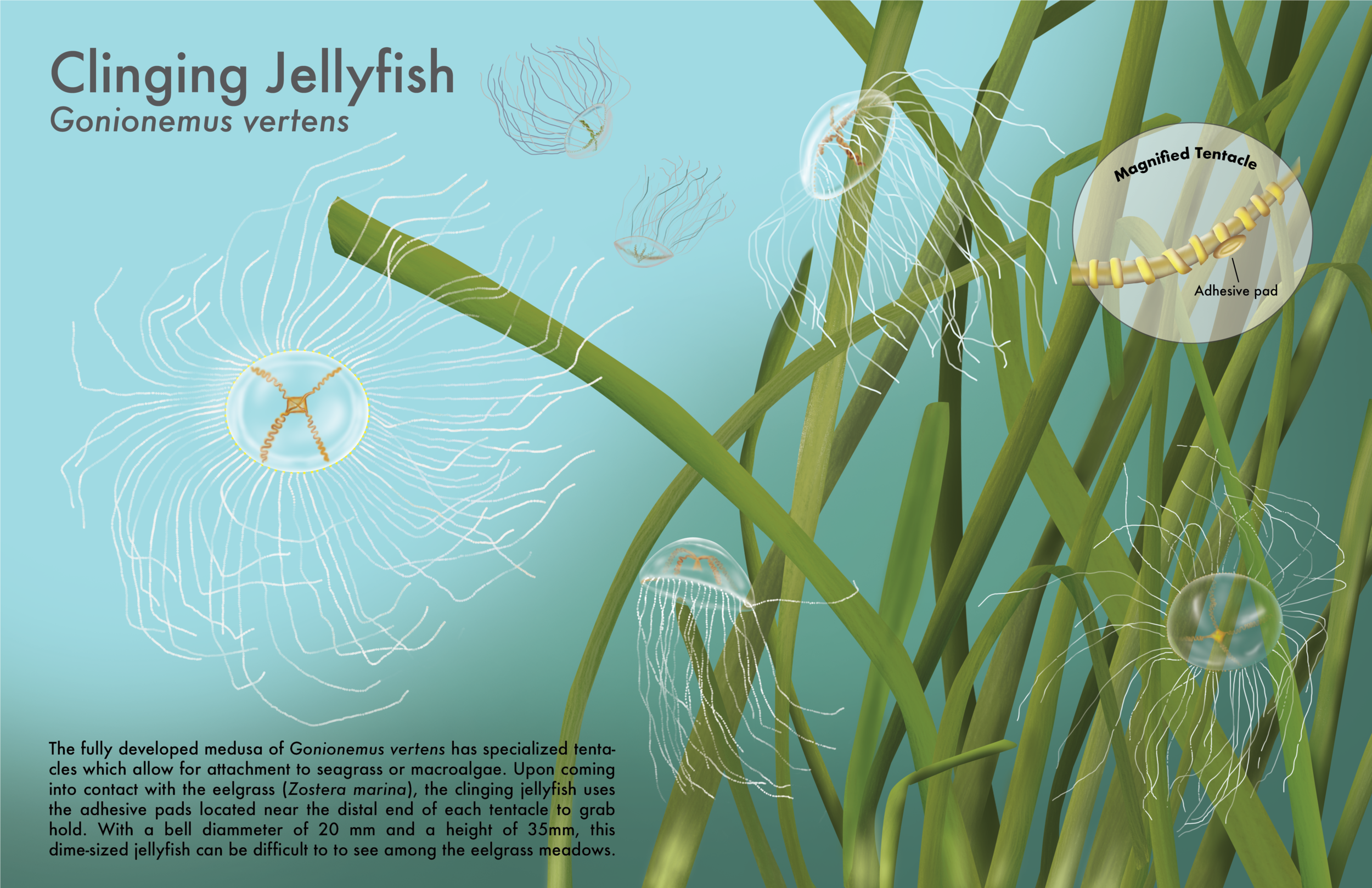 Clinging Jellyfish in Habitat