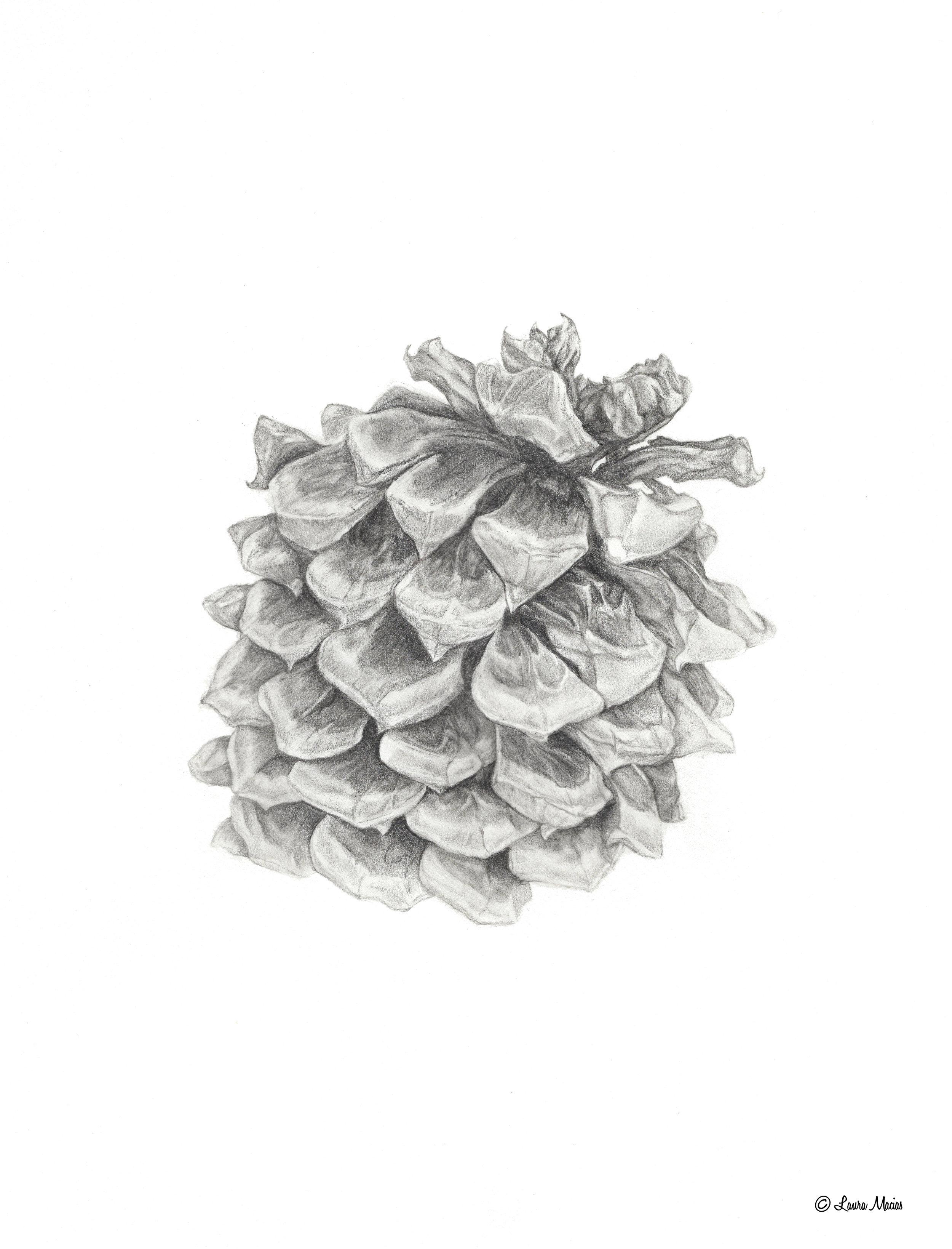 Pine Cone    Graphite