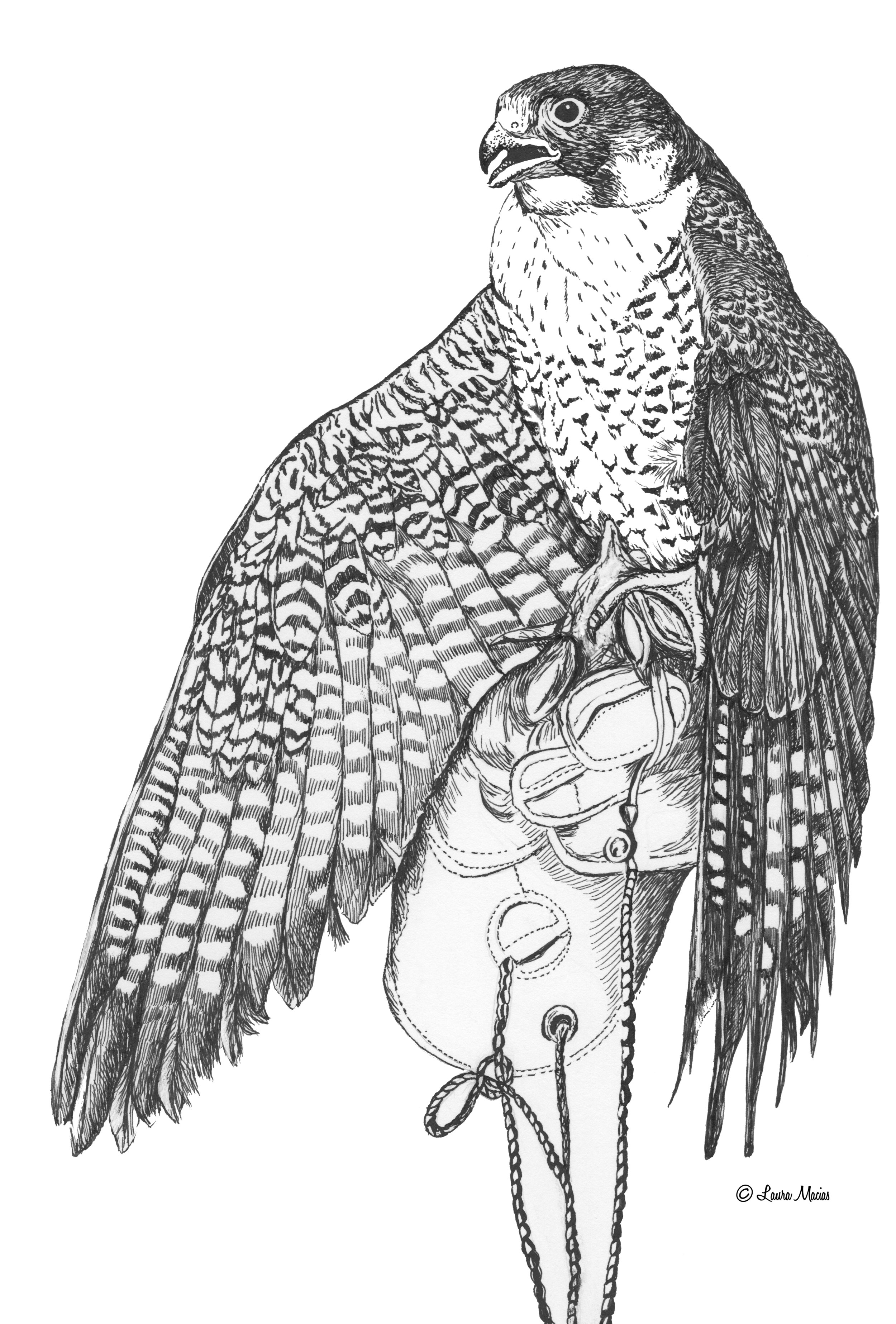 Peregrine Falcon  Falco peregrinus   Pen and Ink