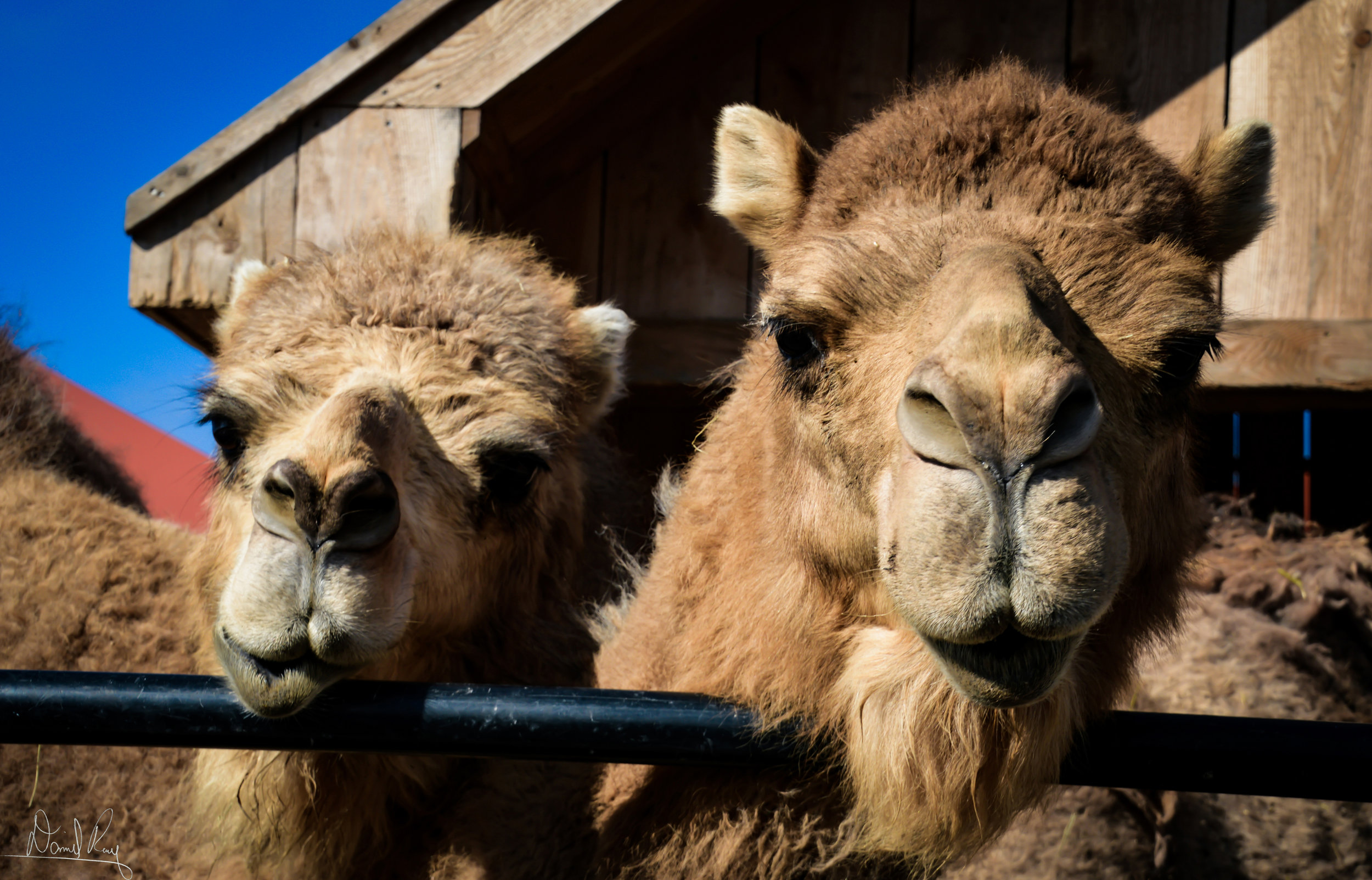 Hungry Hungry Camels
