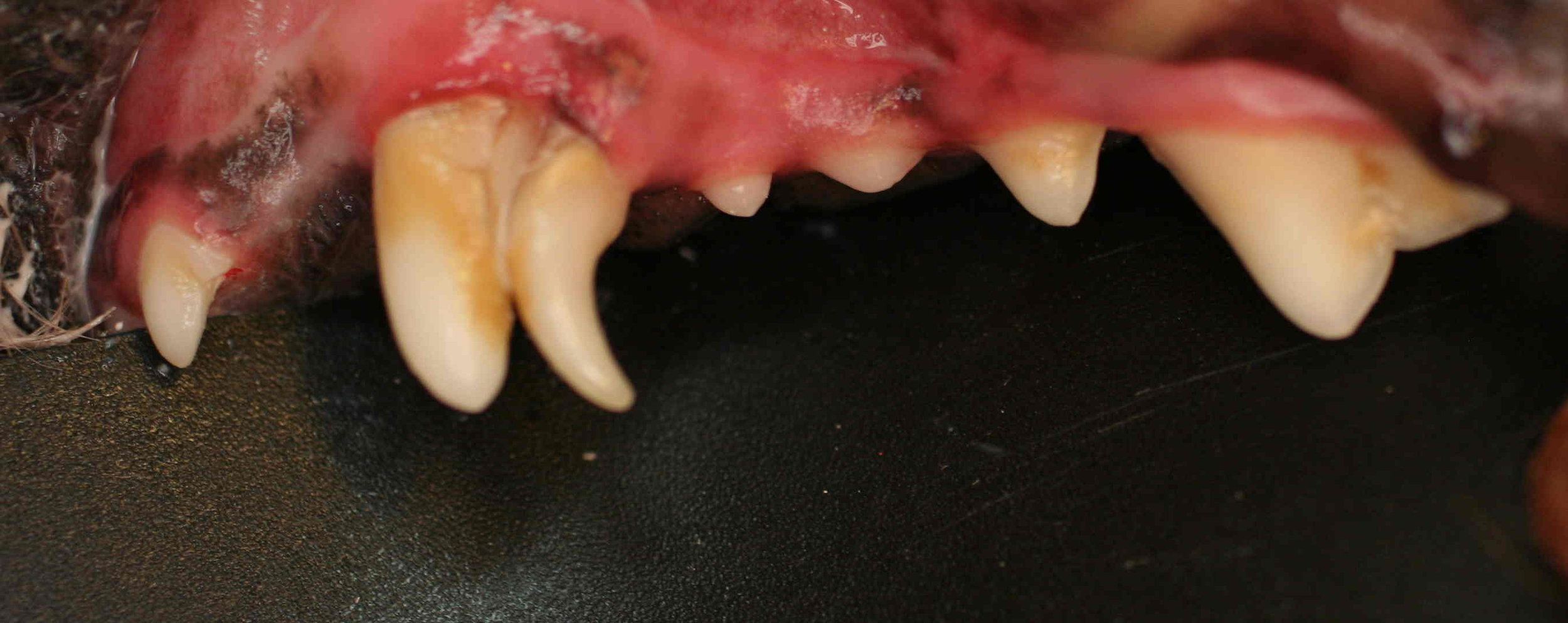 BEFORE  Severe calculus and gingivitis, persistent puppy canine tooth.