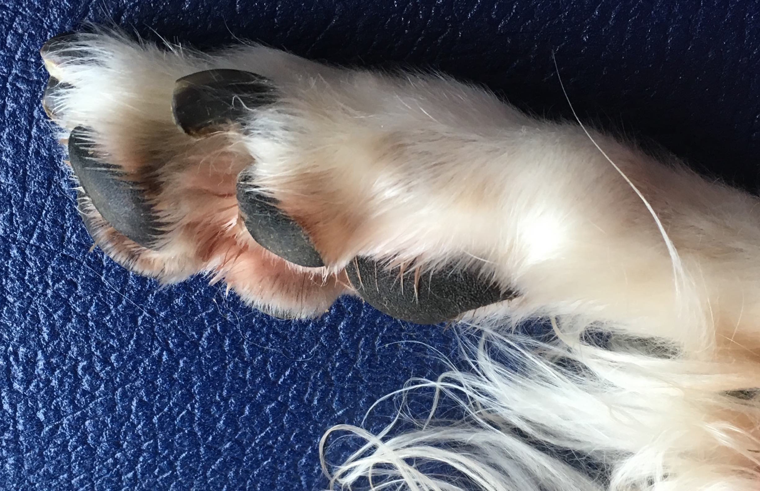 Trimmed paw with short nails