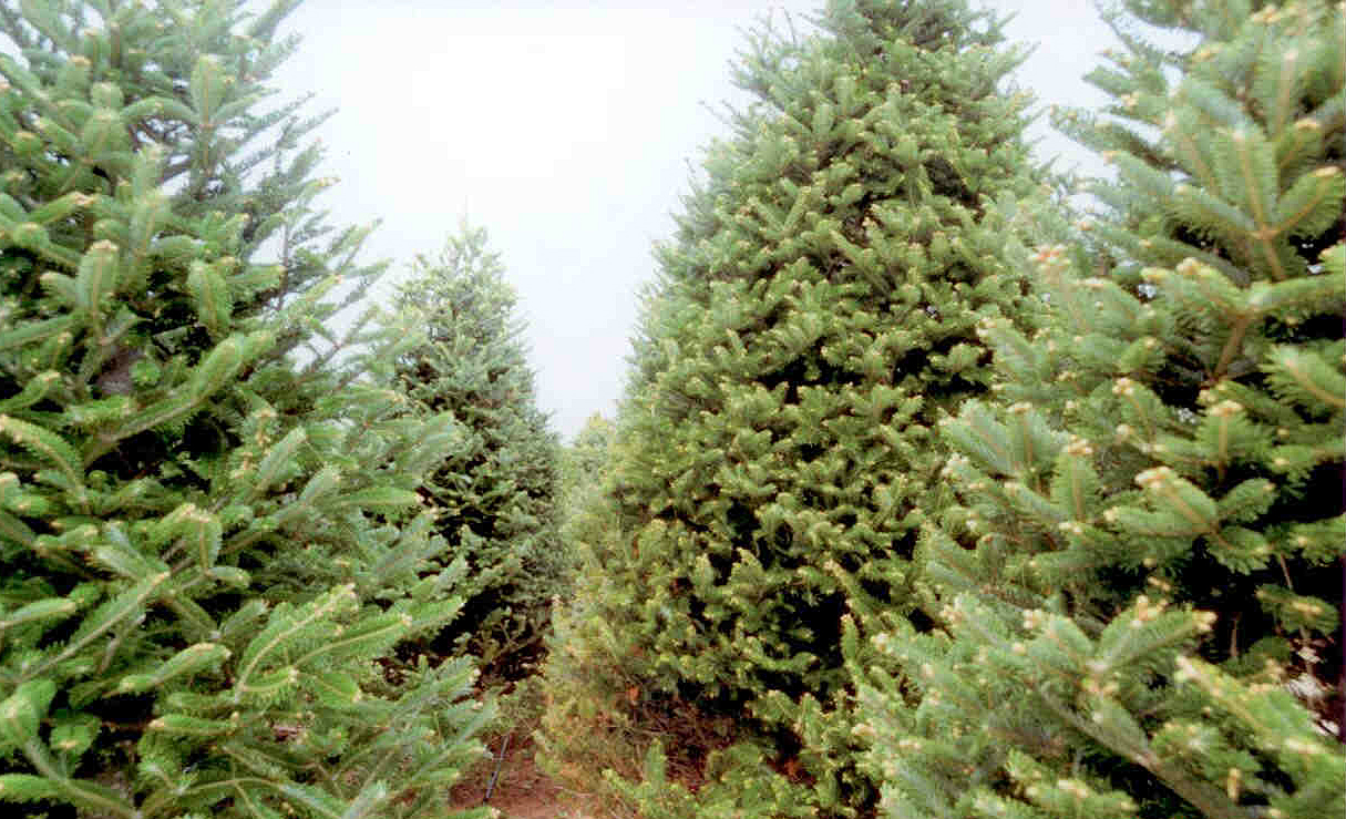 Mature Trees Ready For Your Family Christmas Holiday