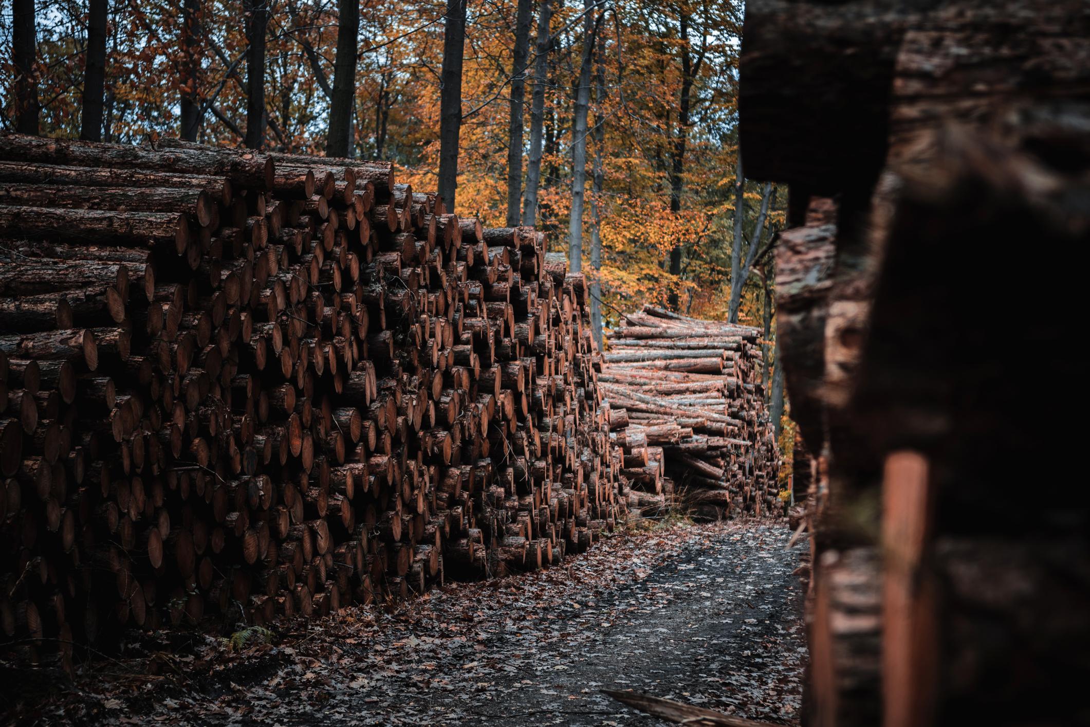 Piles of freshly cut wood.