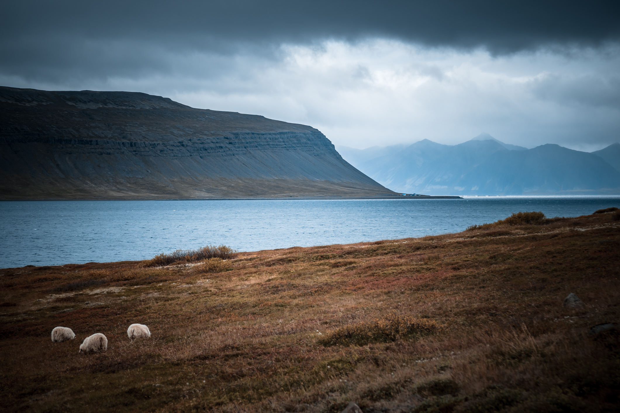 A bunch of sheep, grazing in paradise. Fossfjörður