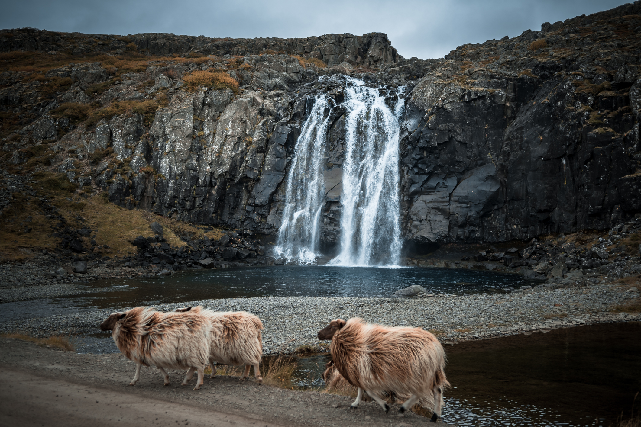 Another bunch of sheep, casually crossing the street in front of the Waterfall. Can it get more Icelandic then this?