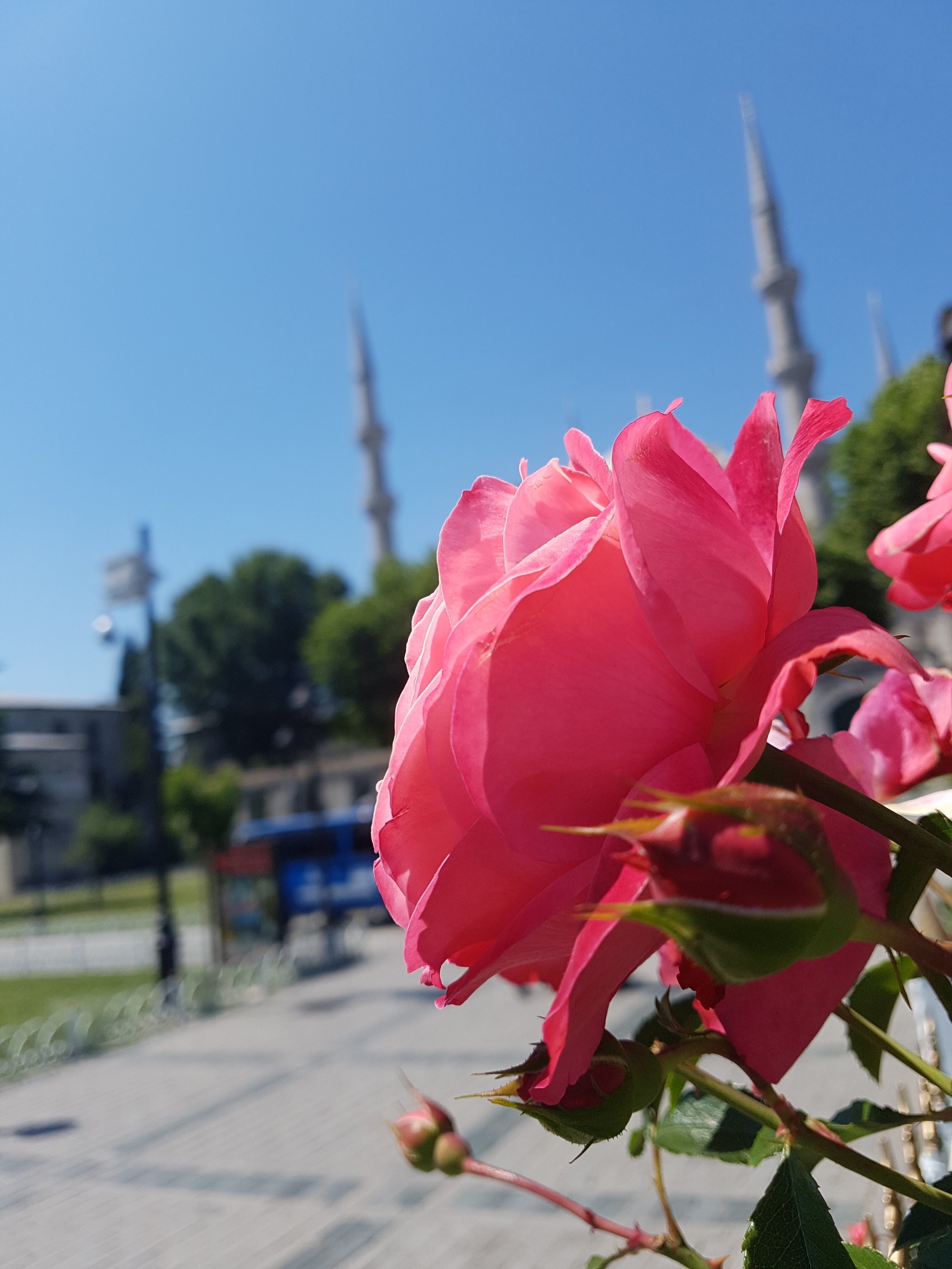Blue skies and pink roses in Istanbul