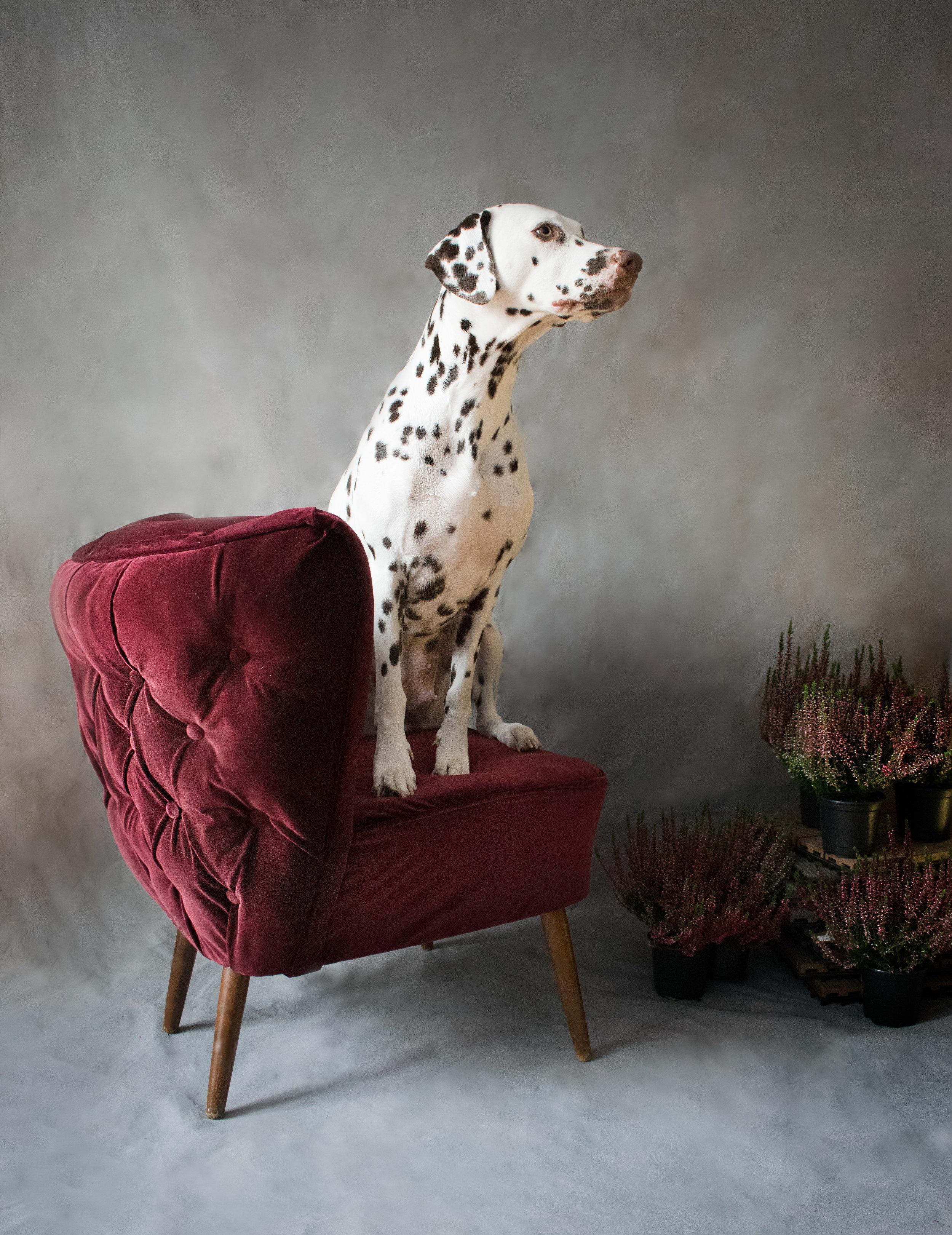 Burgundy velvet Cocktail Chair