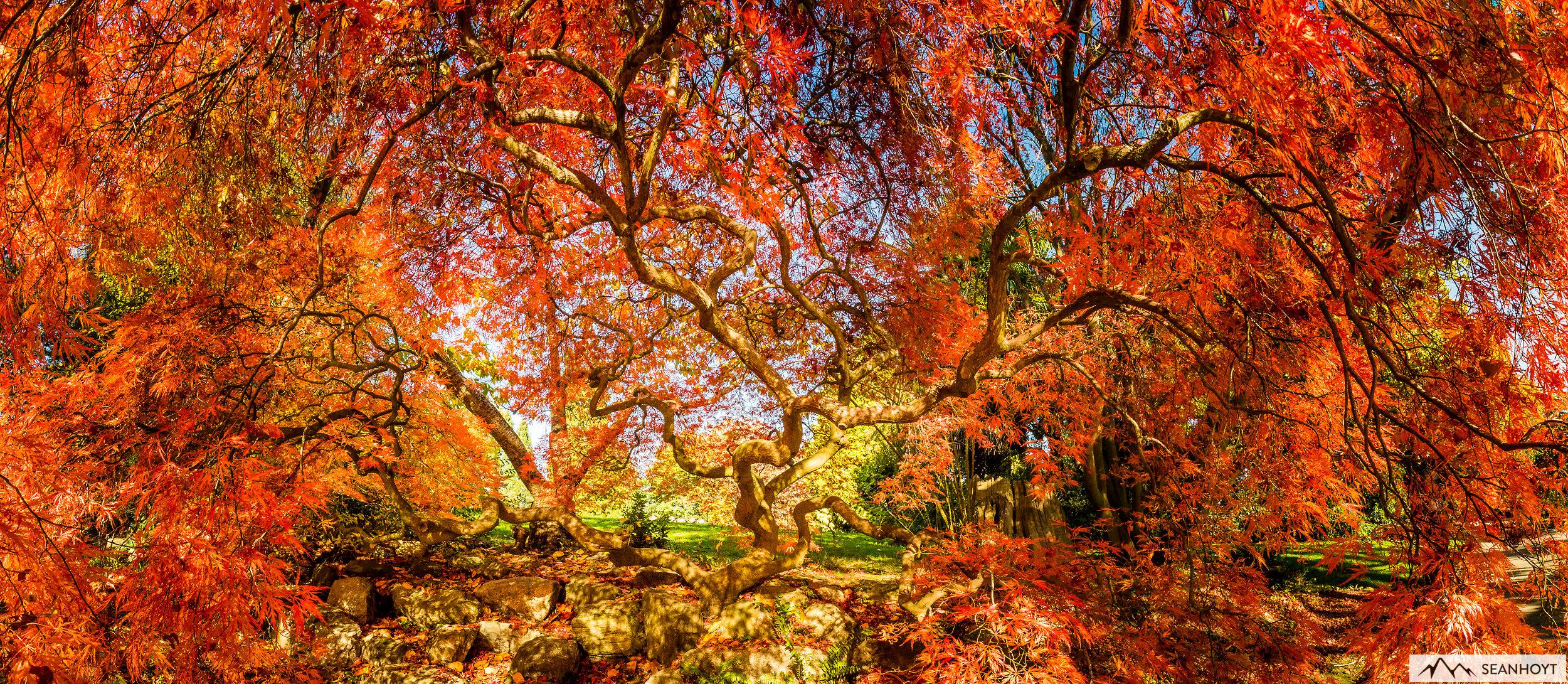Japanese Maple In Full Fall Color Sean Hoyt Landscape Art