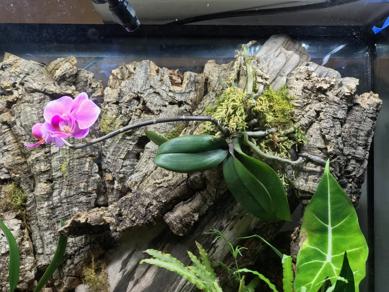 Love seeing natural Phalaenopsis growth - leaves fanning outward and downward while the roots anchor the plant.
