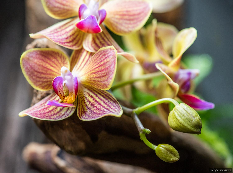 Phalaenopsis NOID mini