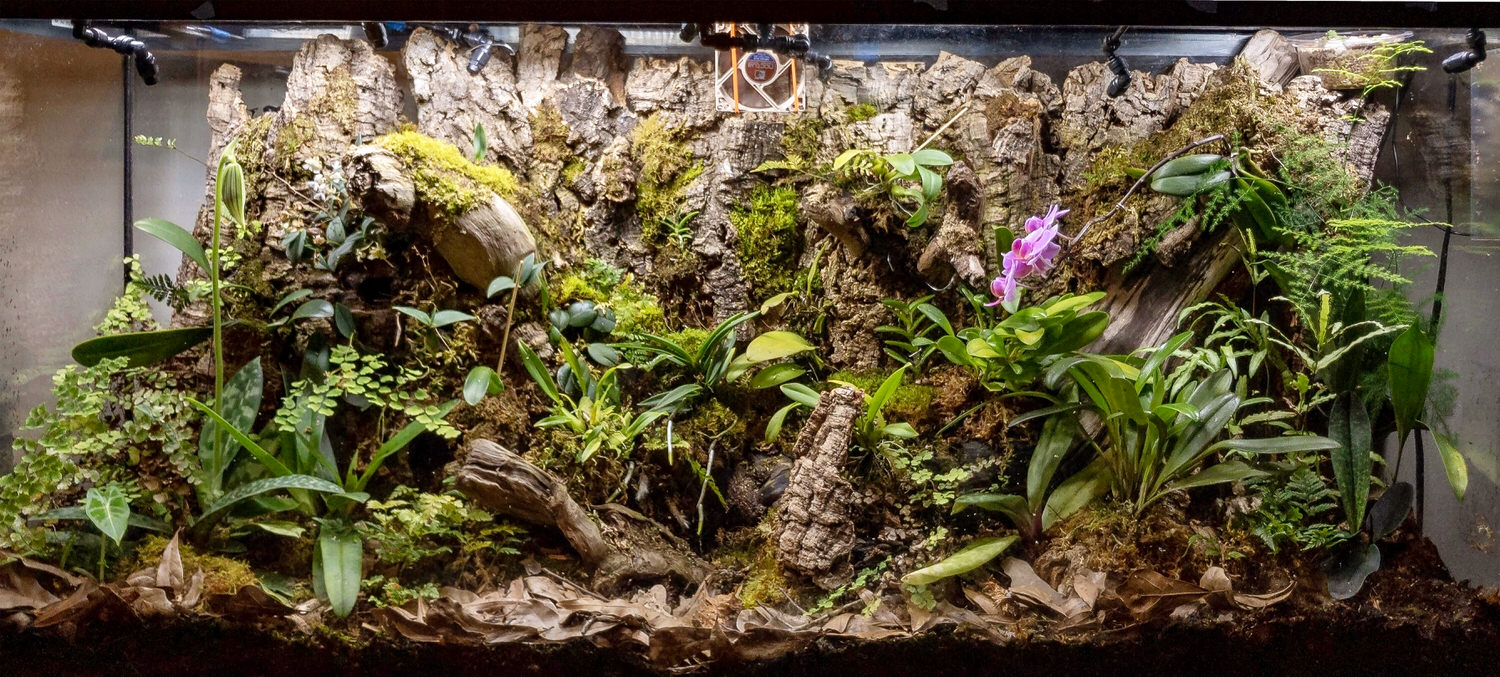 April 2019 - Split the Masdevallias up to the mid section and below and a division to the right of the bottom cave on the left. The Paph. maudae (green w/ white stripes) is almost blooming on the left. The pink phal has 4 new blooms and continues to add more sequentially.