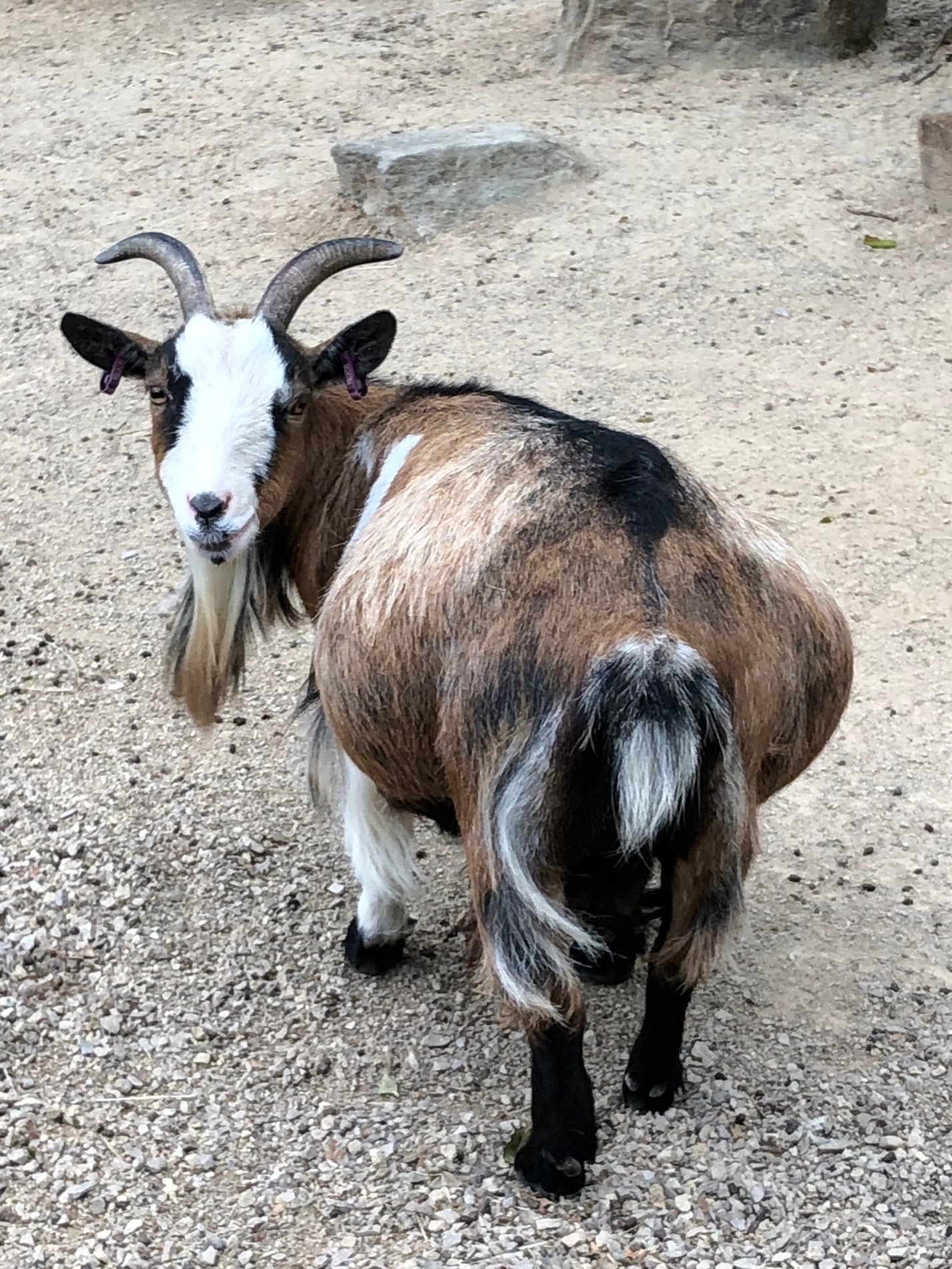 Here's a picture of a rather coquettish goat I met recently.