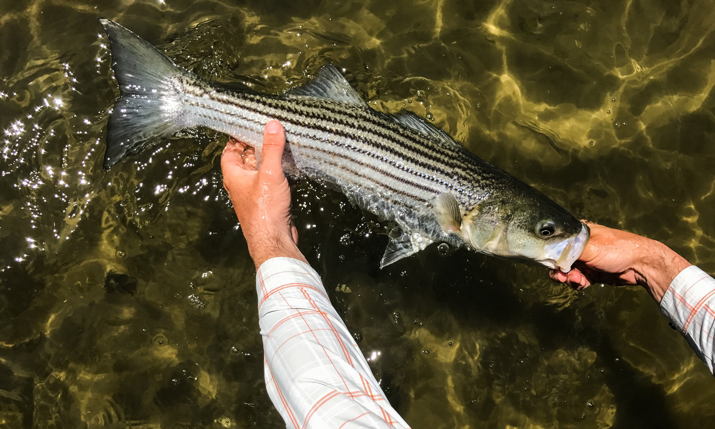 A quality striper on the flats. A fish like this gives you an even better fight when hooked in skinny water.